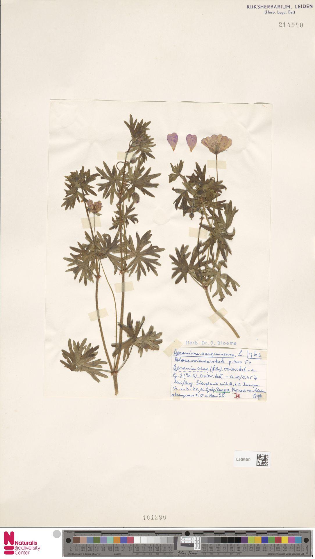 L.2003952   Geranium sanguineum L.