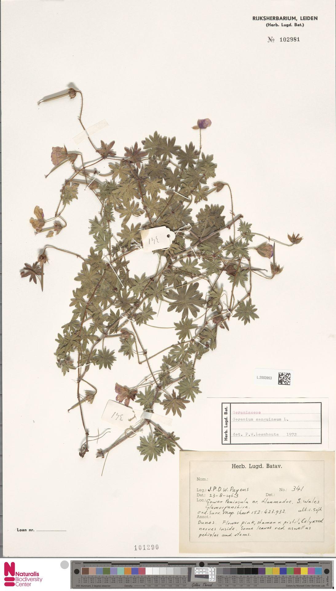 L.2003953 | Geranium sanguineum L.