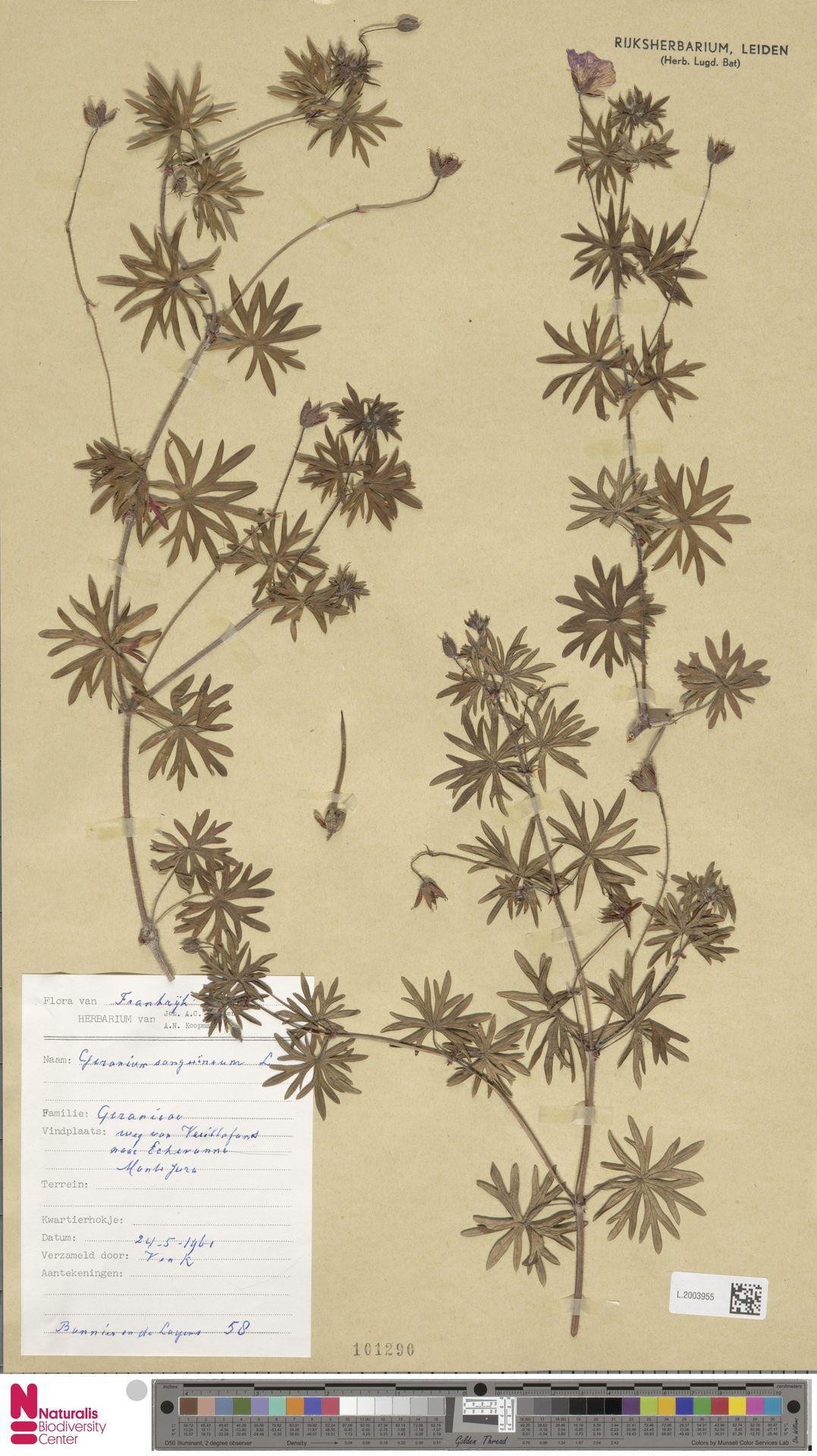 L.2003955 | Geranium sanguineum L.