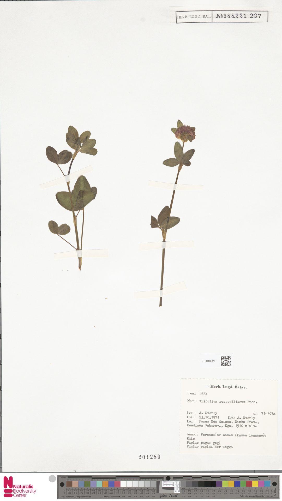 L.2010227 | Trifolium pratense L.