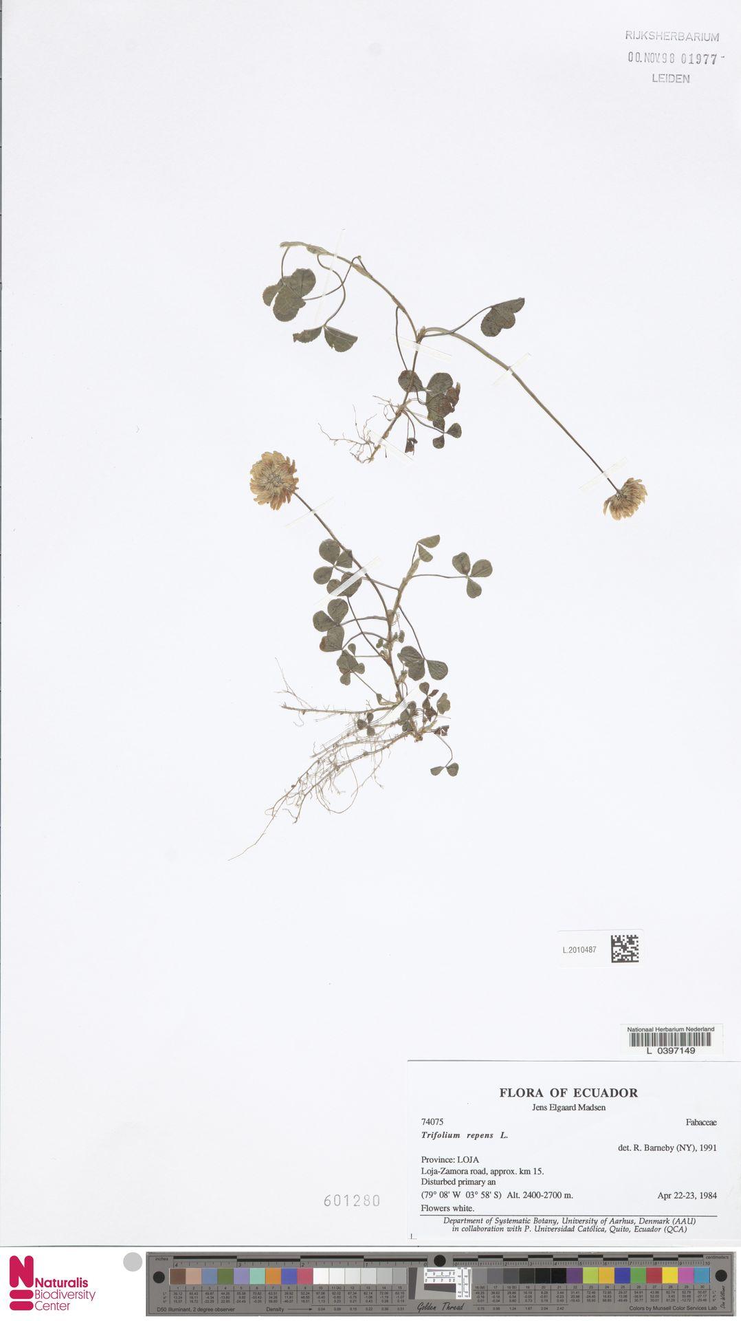 L.2010487 | Trifolium repens L.