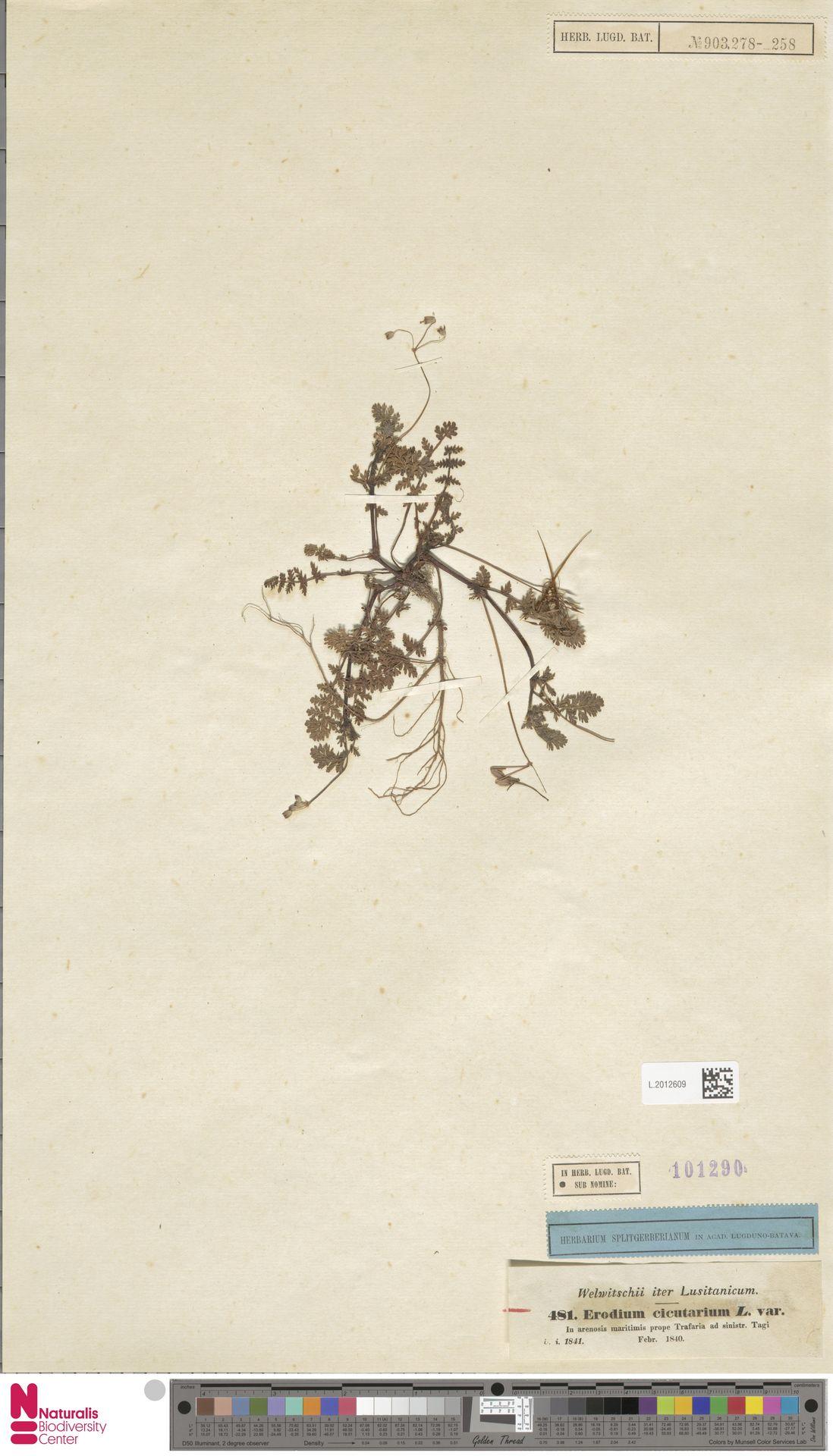 L.2012609 | Erodium cicutarium (L.) L'Hér.