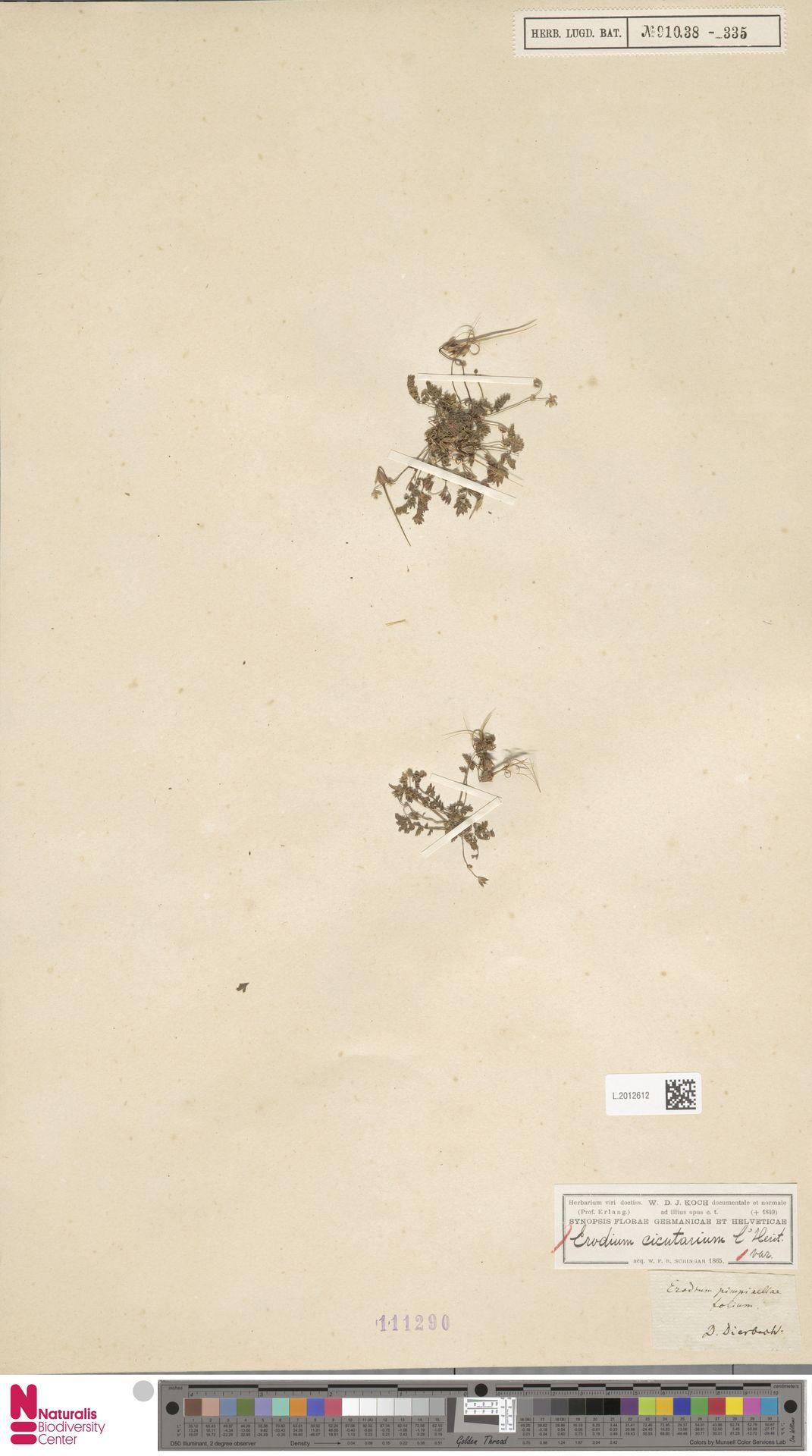 L.2012612 | Erodium cicutarium (L.) L'Hér.