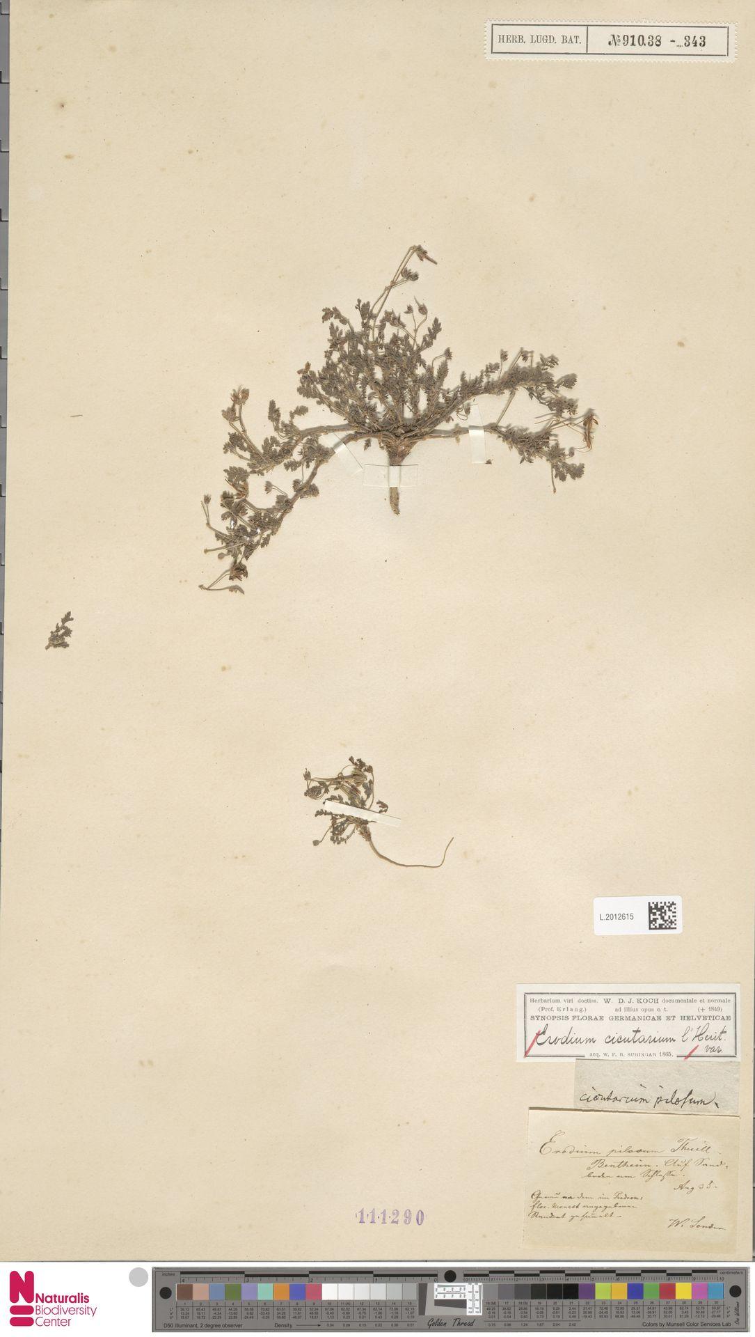 L.2012615 | Erodium cicutarium (L.) L'Hér.