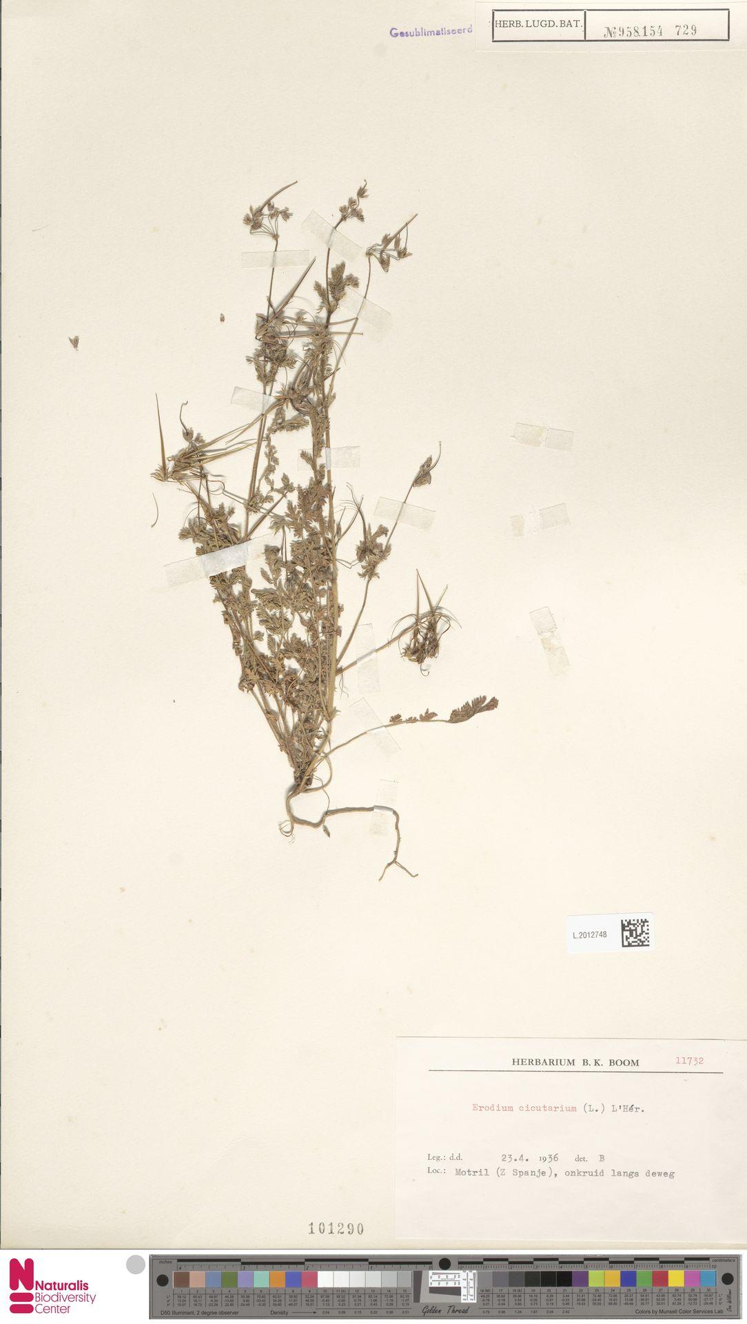 L.2012748 | Erodium cicutarium (L.) L'Hér.
