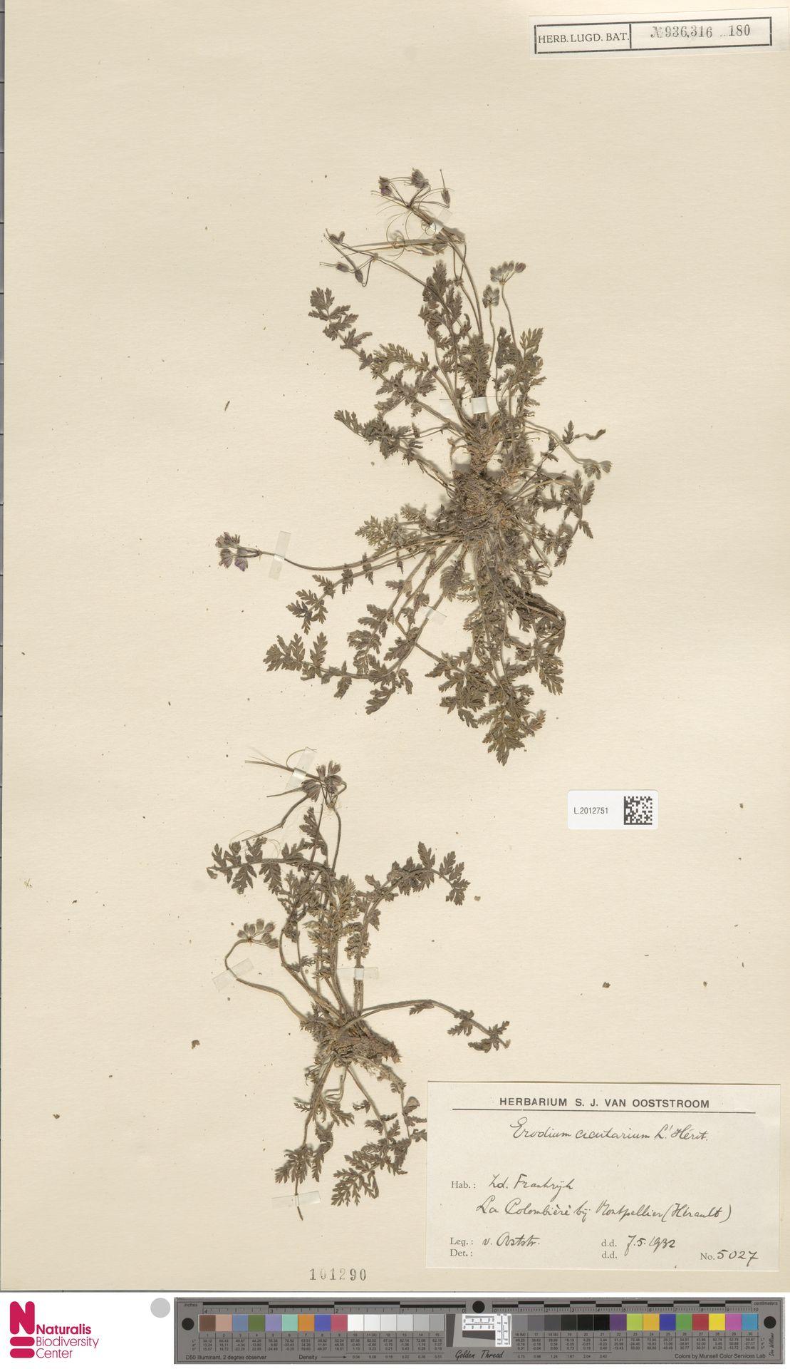 L.2012751 | Erodium cicutarium (L.) L'Hér.