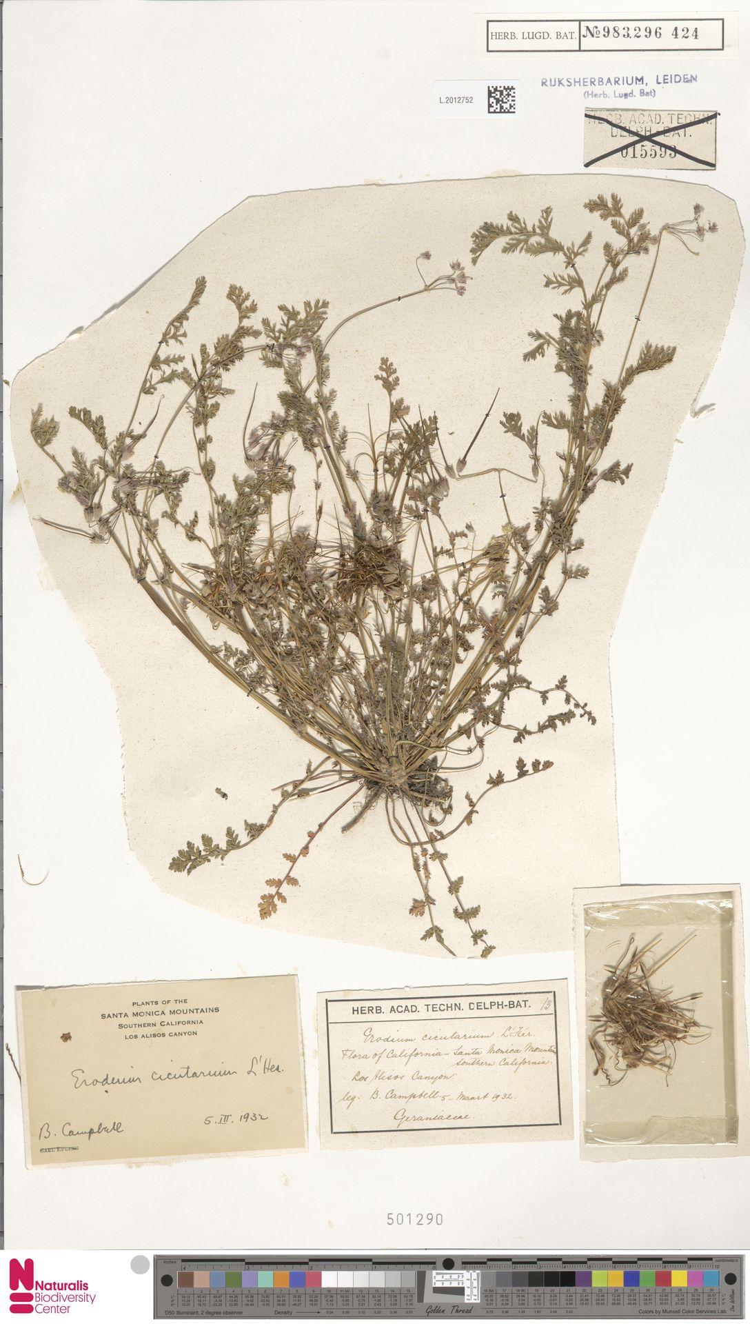 L.2012752   Erodium cicutarium (L.) L'Hér.