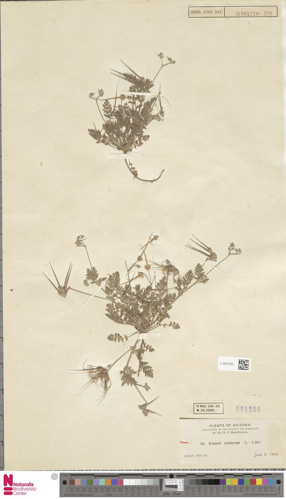 L.2012759 | Erodium cicutarium (L.) L'Hér.