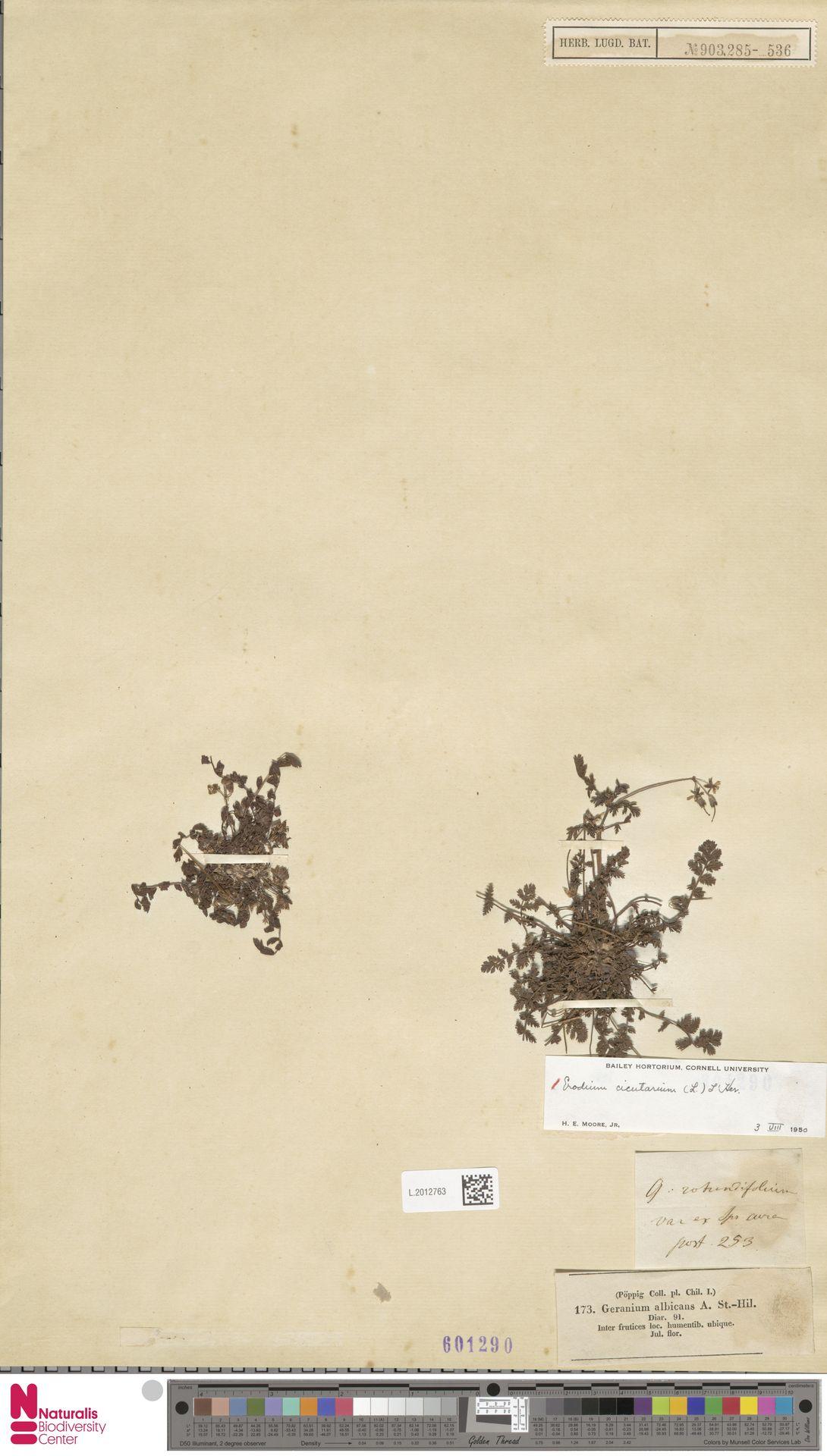 L.2012763 | Erodium cicutarium (L.) L'Hér.