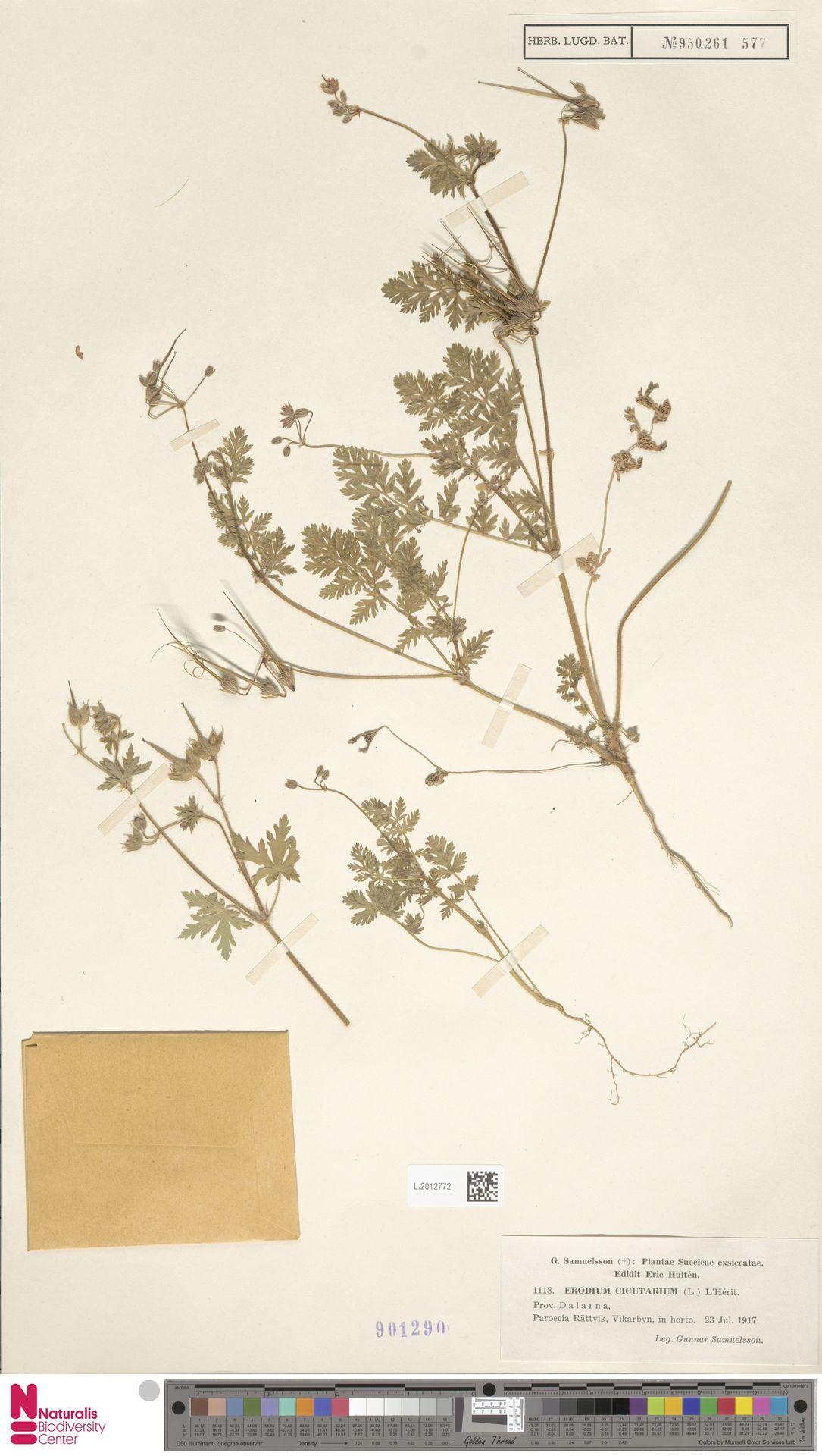 L.2012772 | Erodium cicutarium (L.) L'Hér.