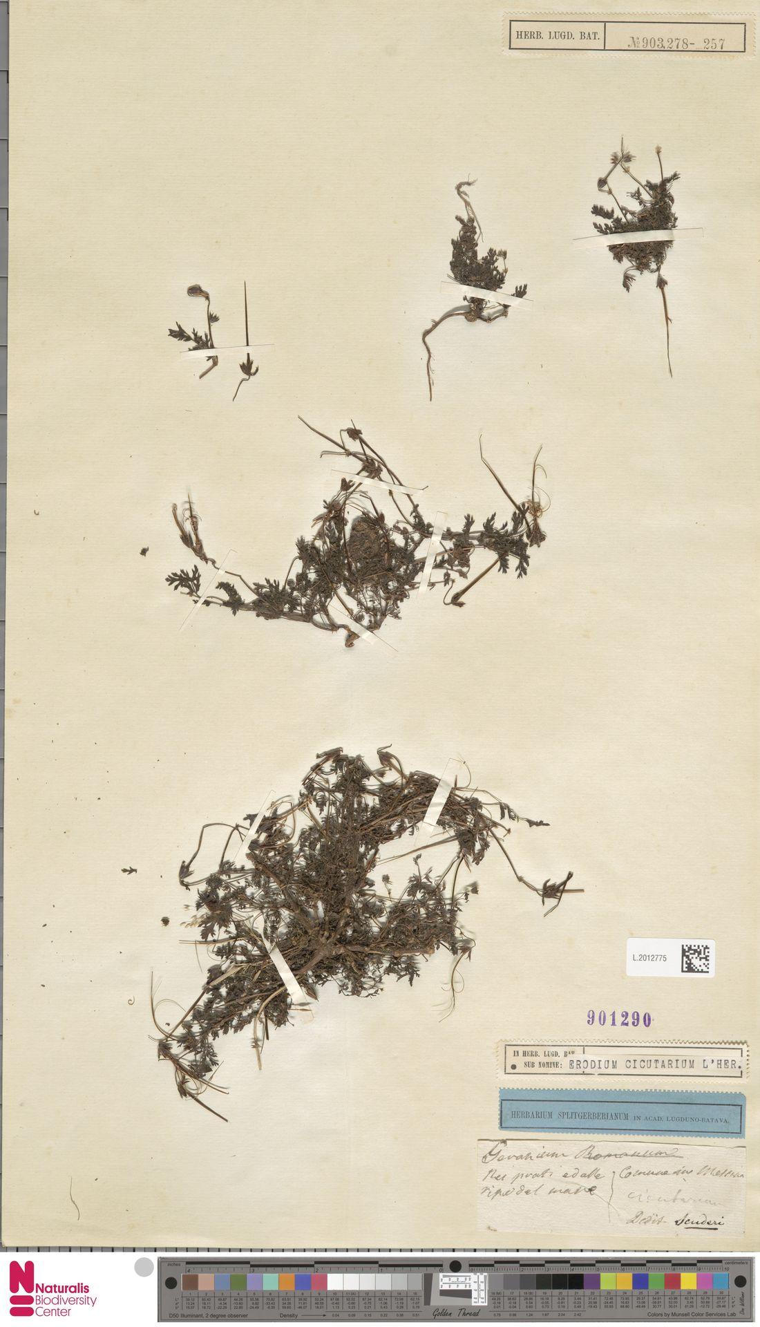 L.2012775 | Erodium cicutarium (L.) L'Hér.
