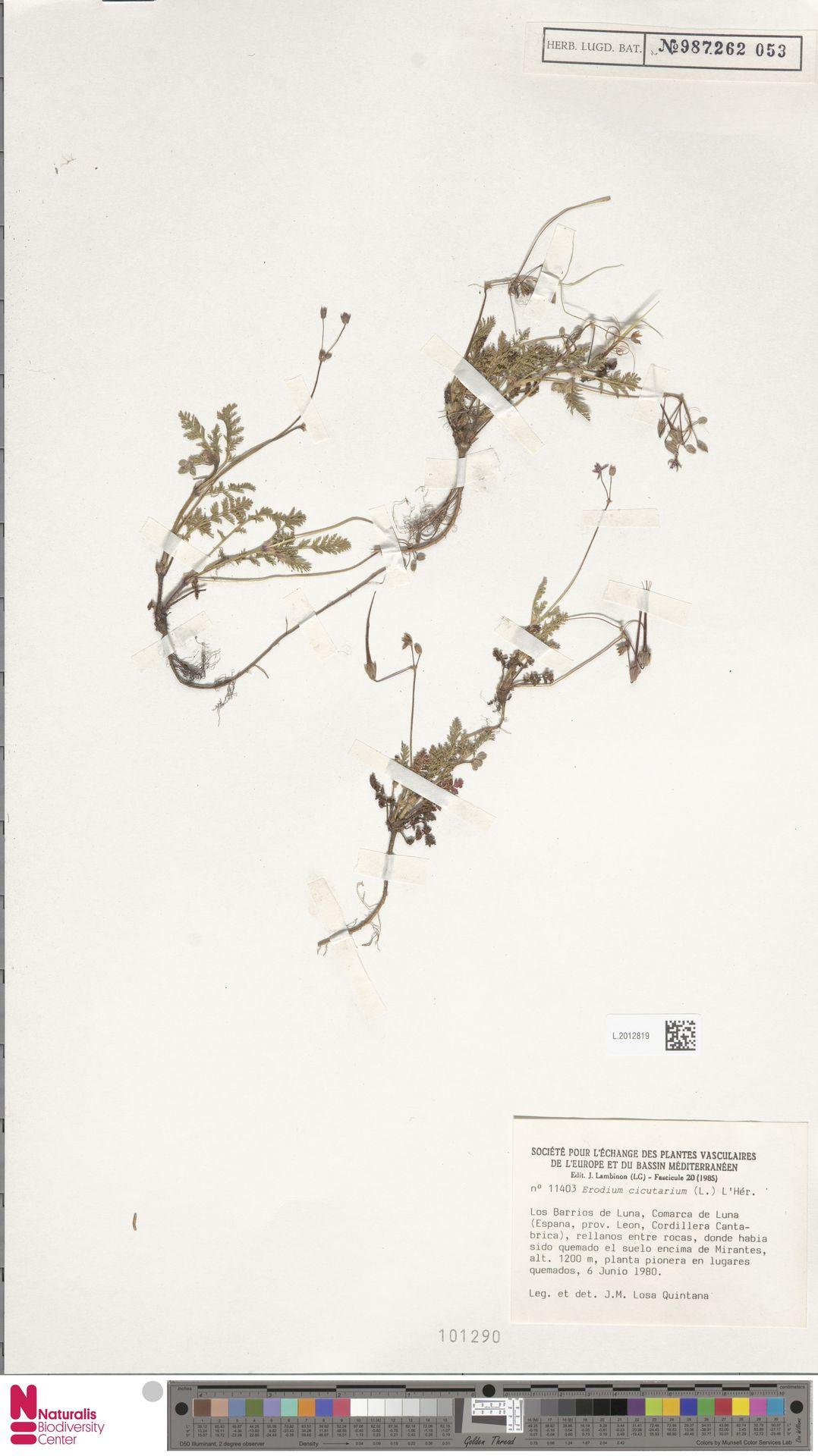 L.2012819 | Erodium cicutarium (L.) L'Hér.