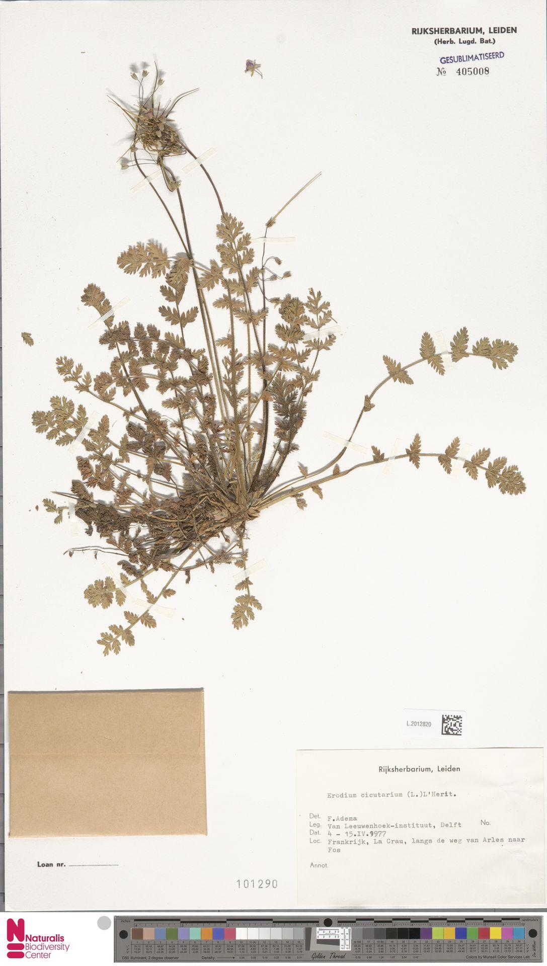 L.2012820 | Erodium cicutarium (L.) L'Hér.