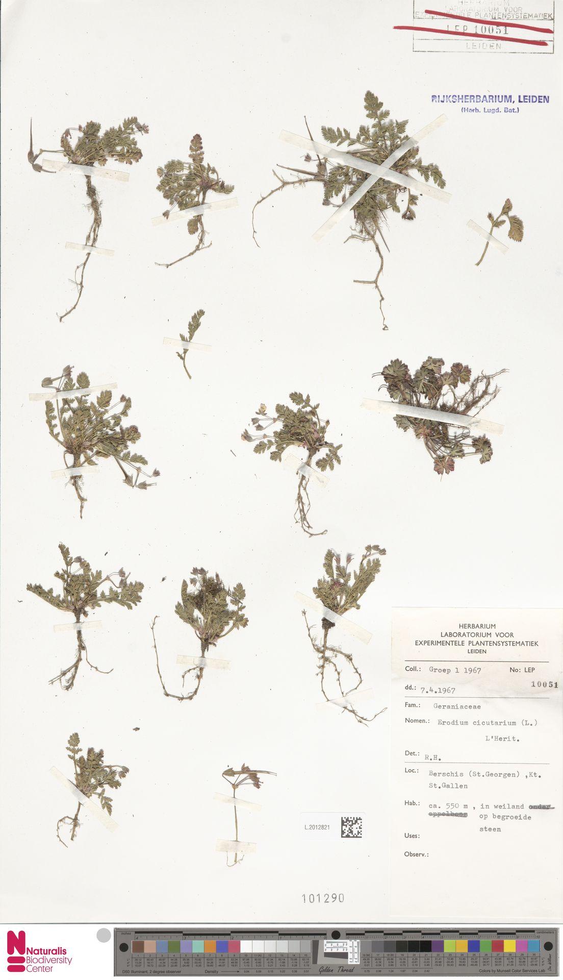 L.2012821 | Erodium cicutarium (L.) L'Hér.