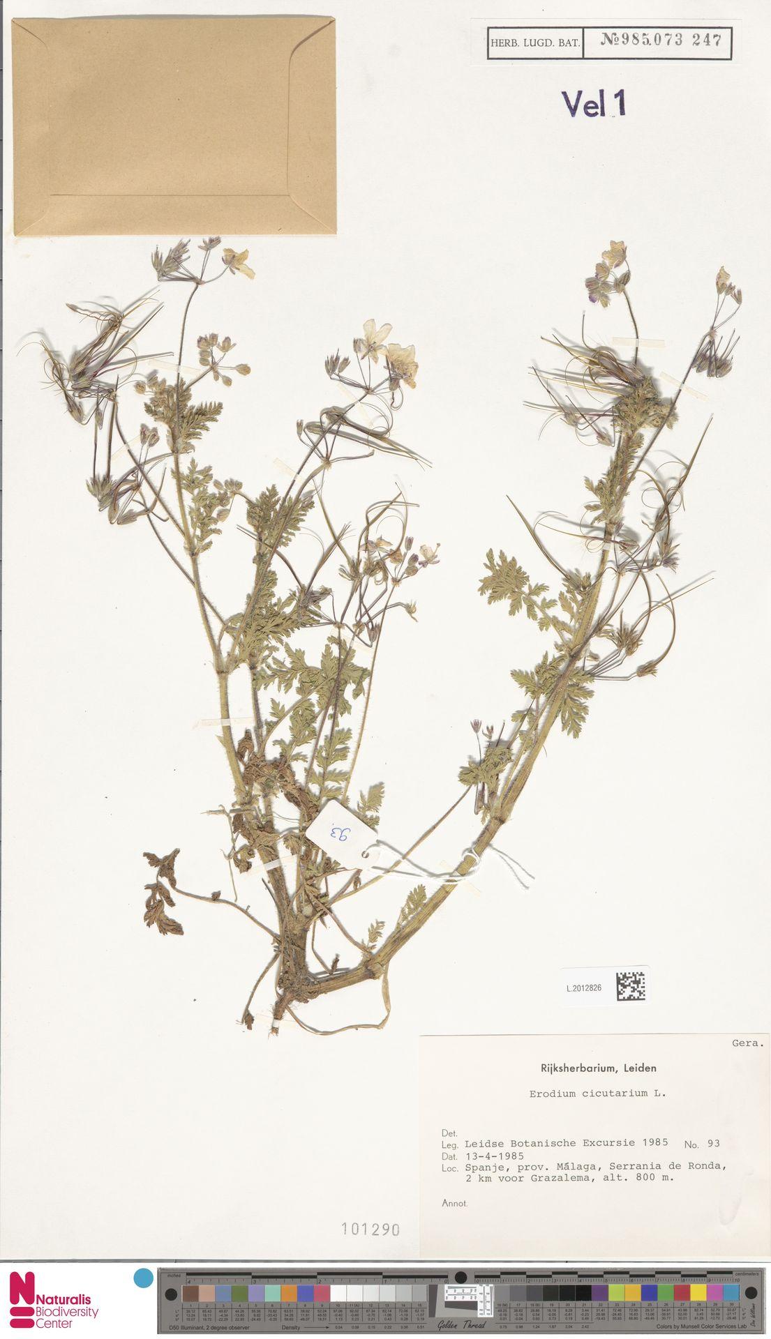 L.2012826 | Erodium cicutarium (L.) L'Hér.
