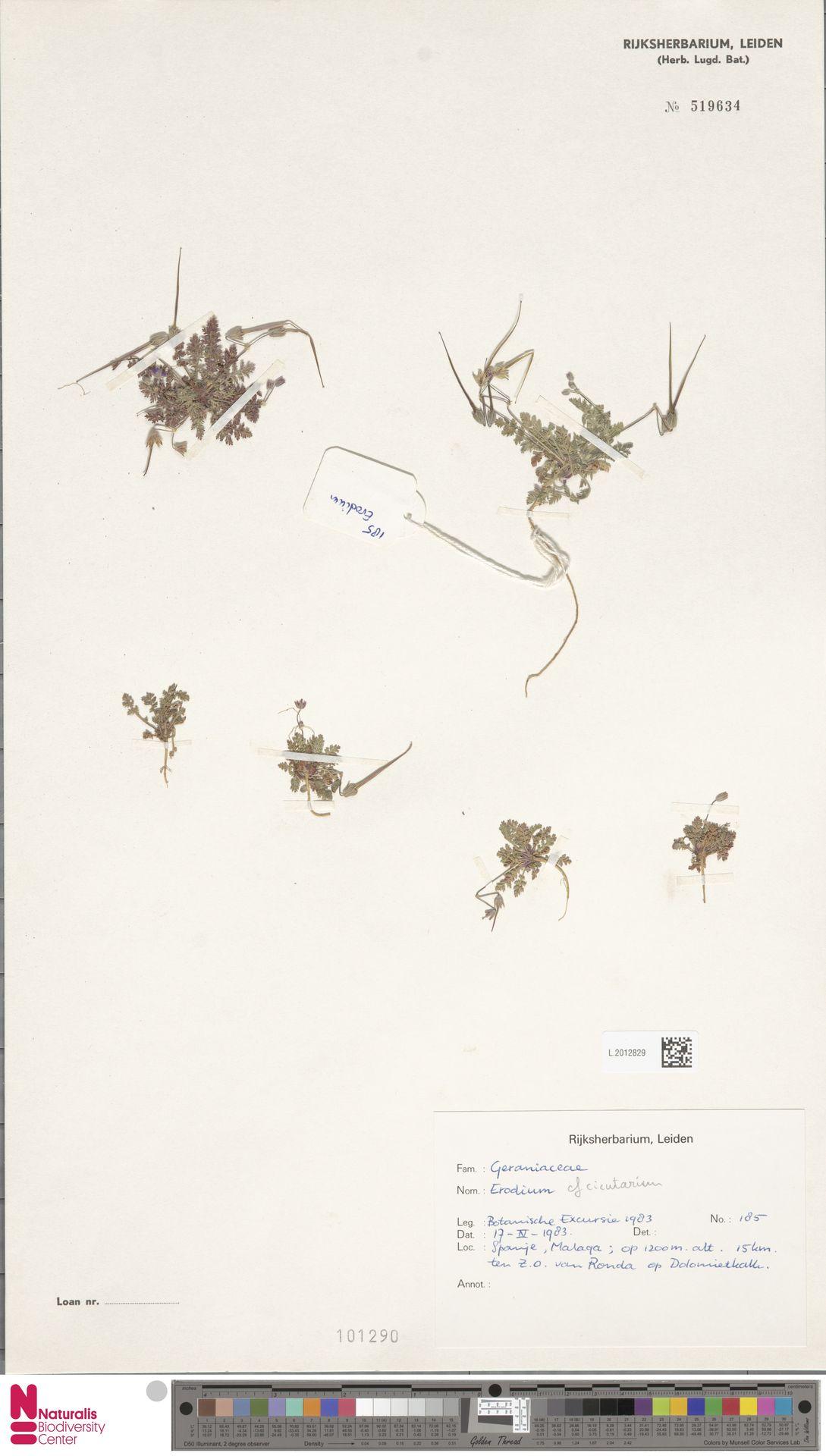 L.2012829   Erodium cicutarium (L.) L'Hér.