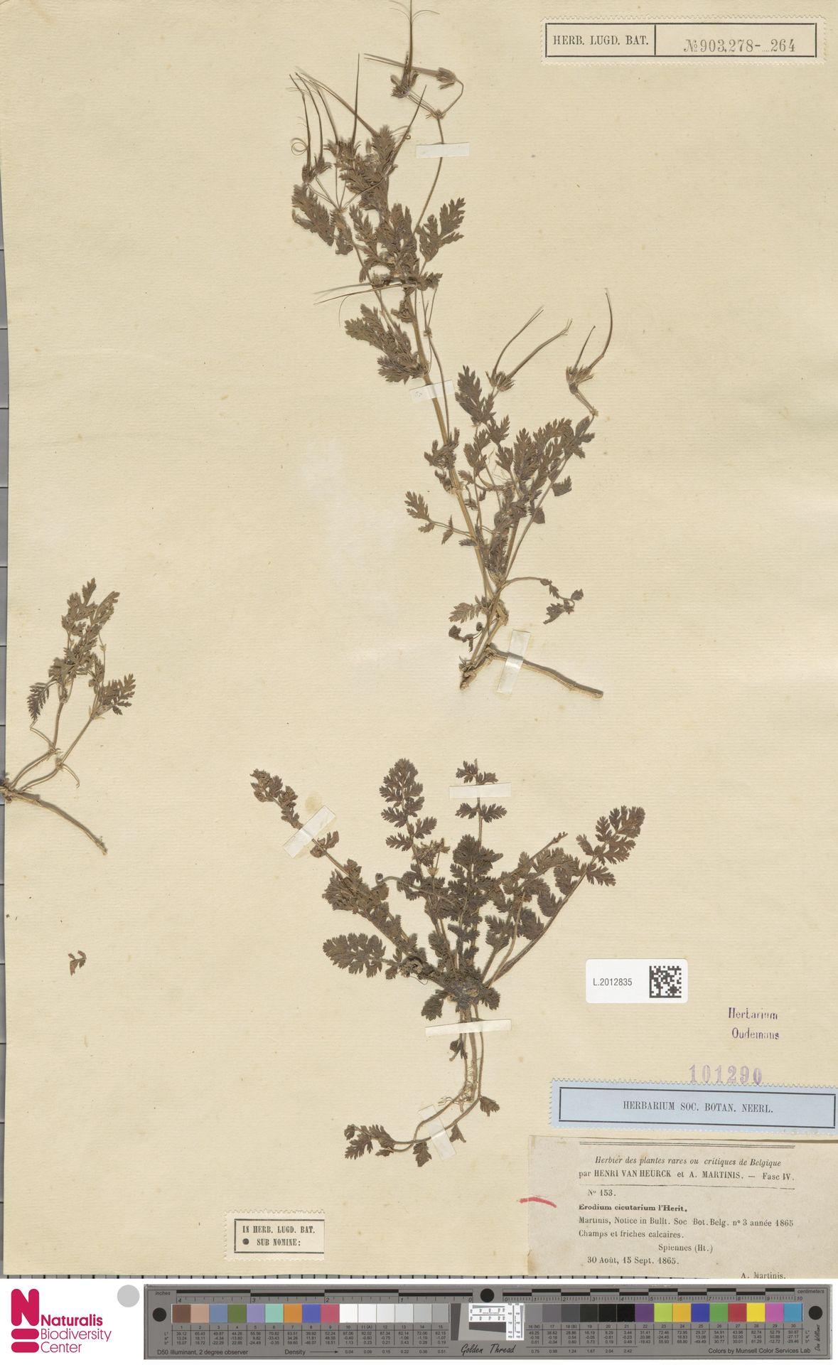 L.2012835 | Erodium cicutarium (L.) L'Hér.