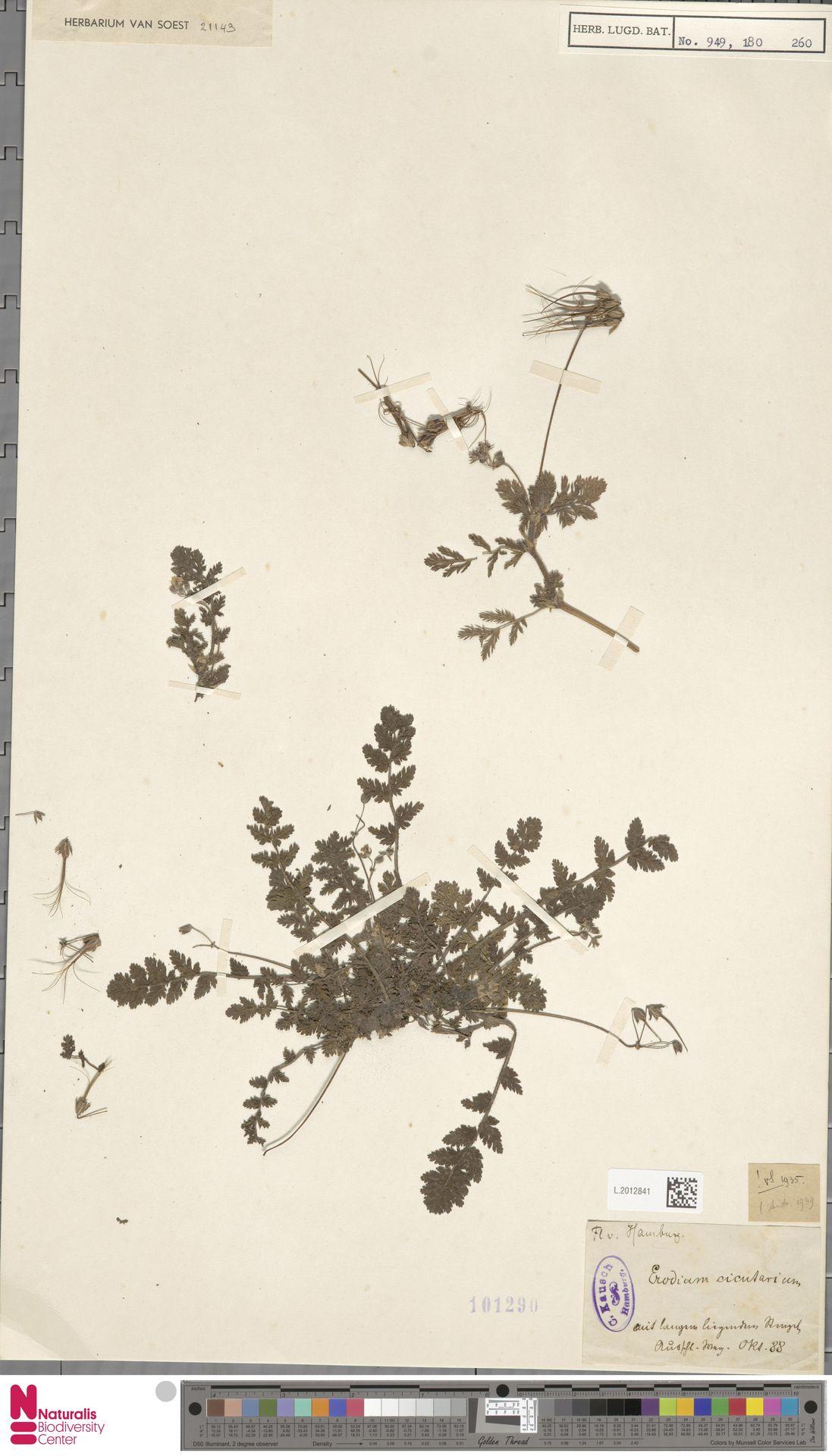 L.2012841   Erodium cicutarium (L.) L'Hér.