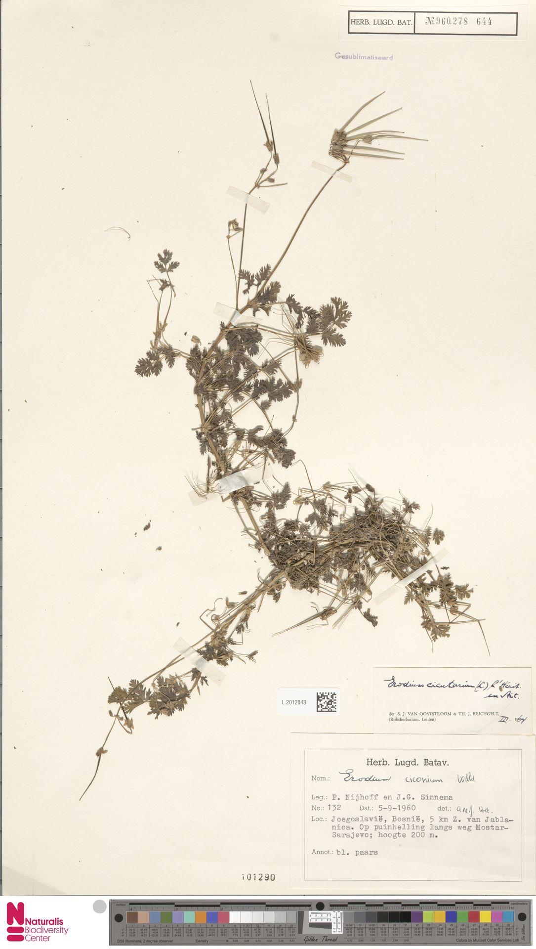 L.2012843 | Erodium cicutarium (L.) L'Hér.
