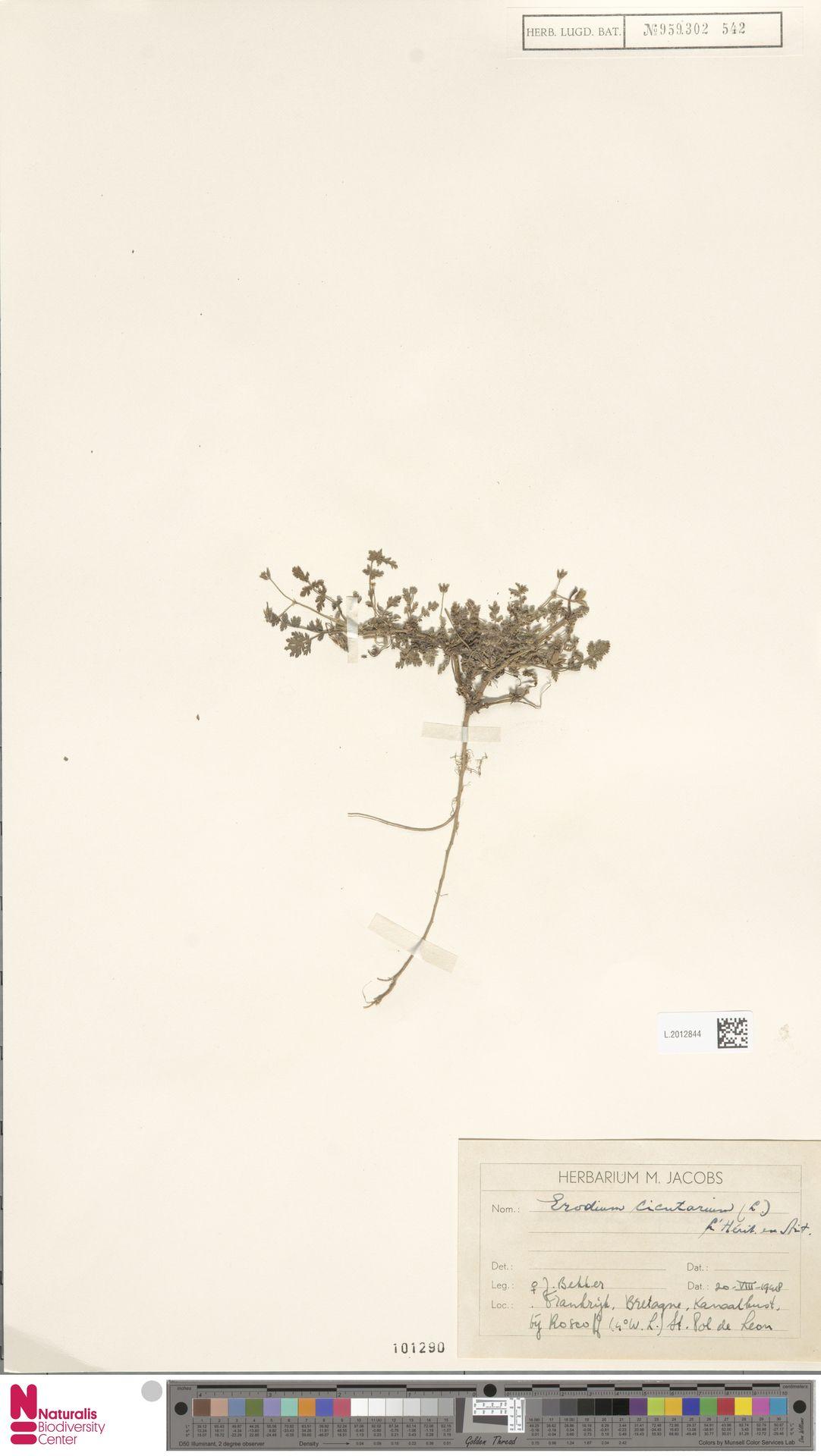 L.2012844   Erodium cicutarium (L.) L'Hér.