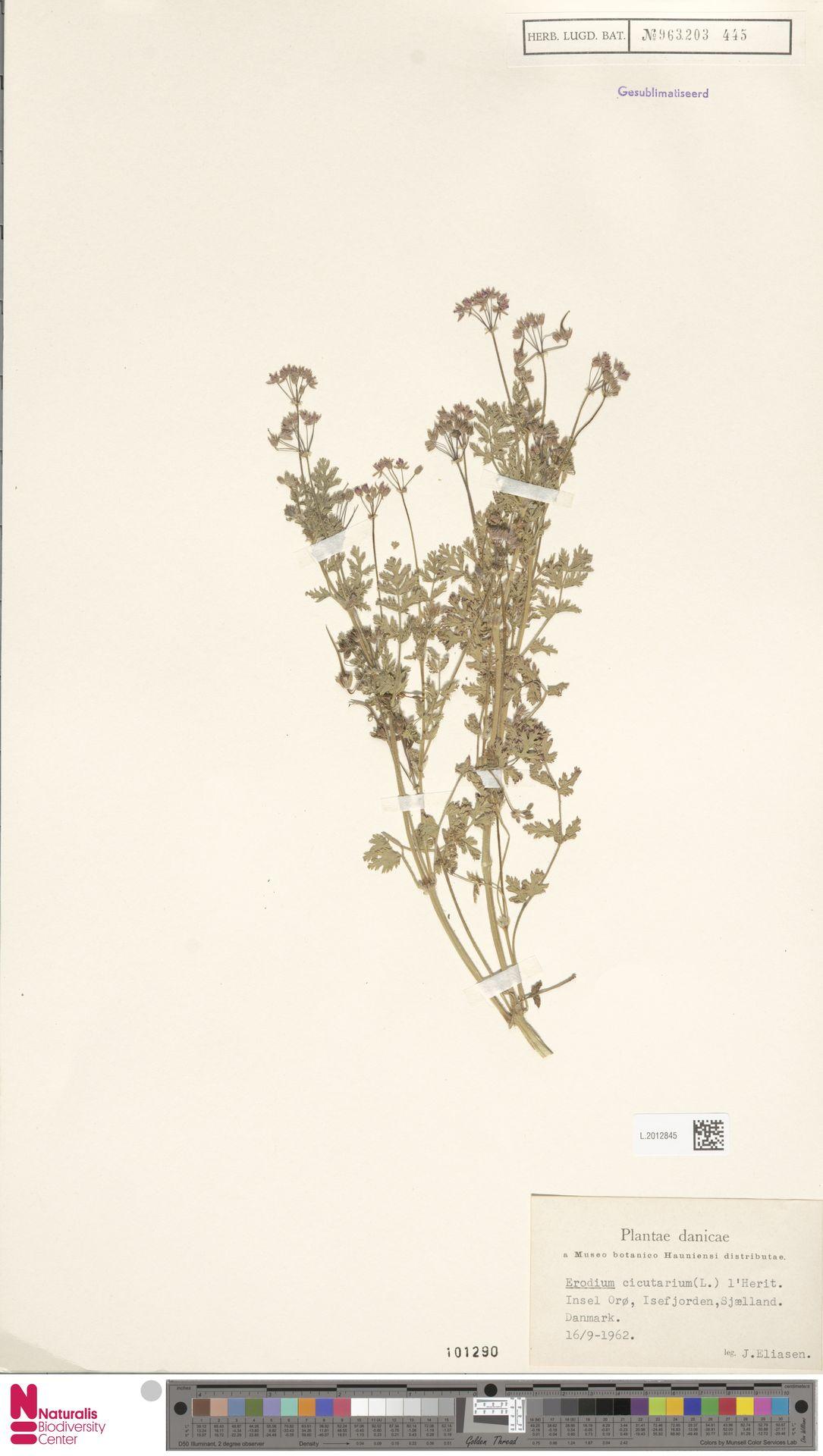 L.2012845 | Erodium cicutarium (L.) L'Hér.