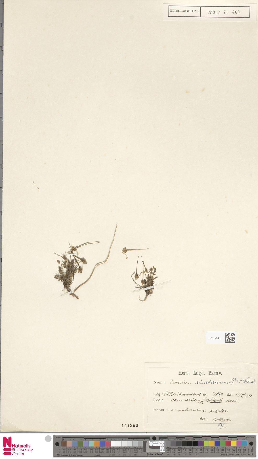 L.2012848 | Erodium cicutarium (L.) L'Hér.