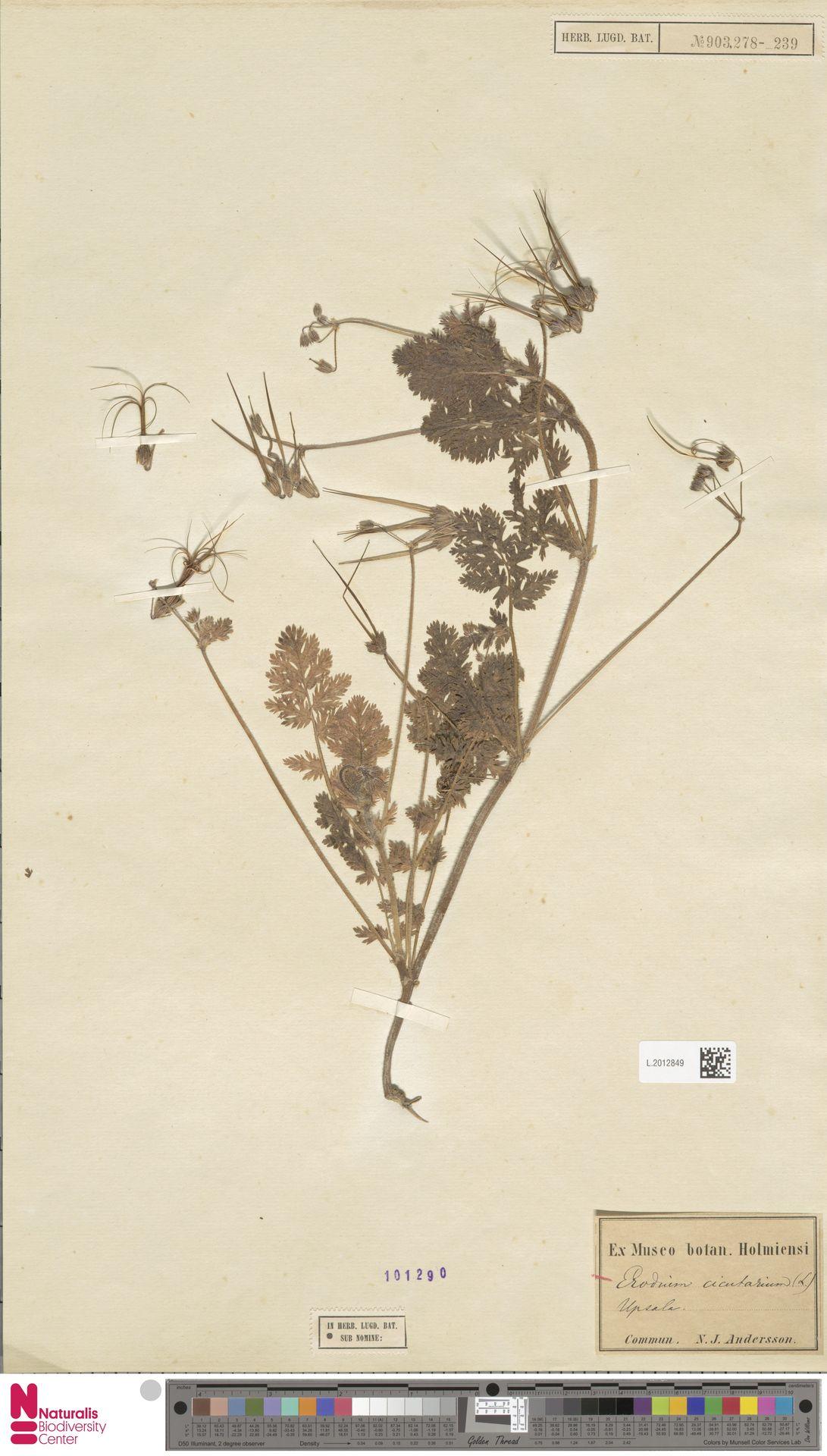 L.2012849 | Erodium cicutarium (L.) L'Hér.