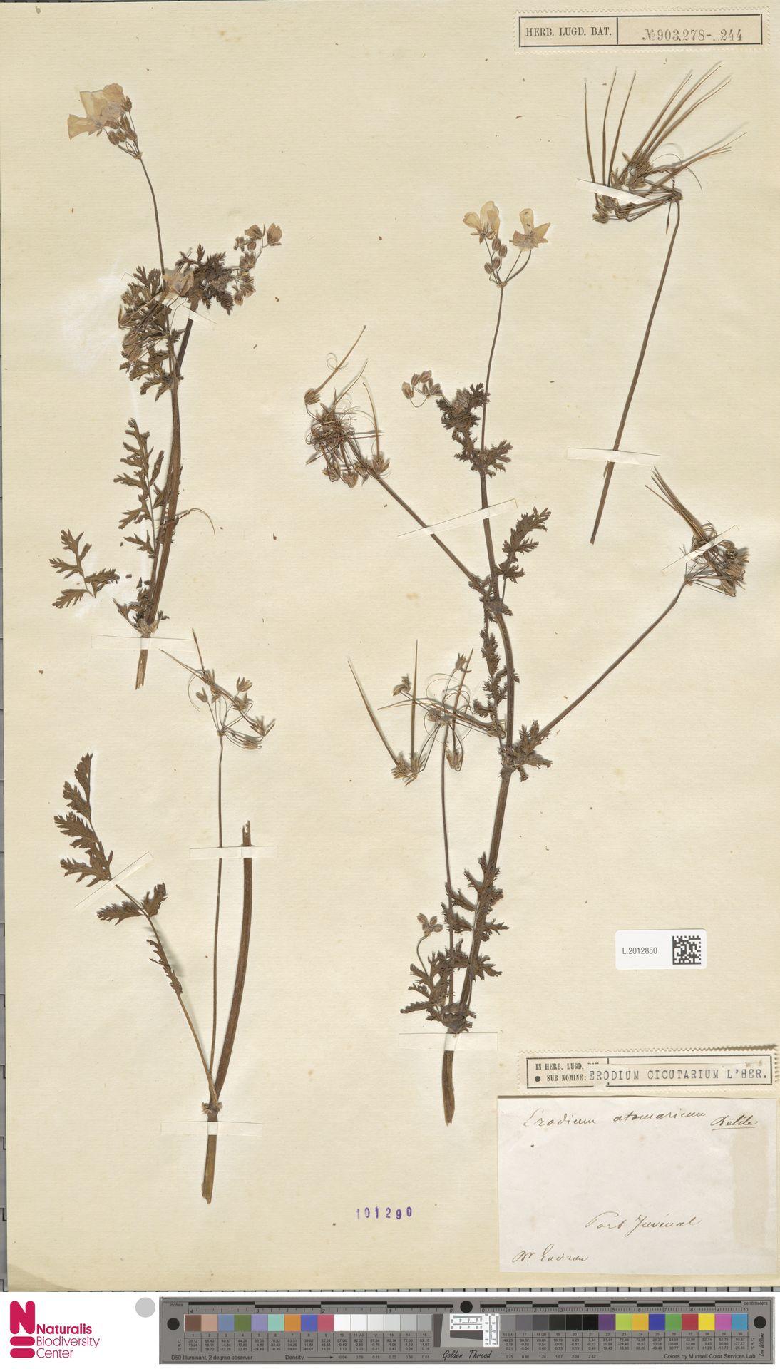 L.2012850 | Erodium cicutarium (L.) L'Hér.