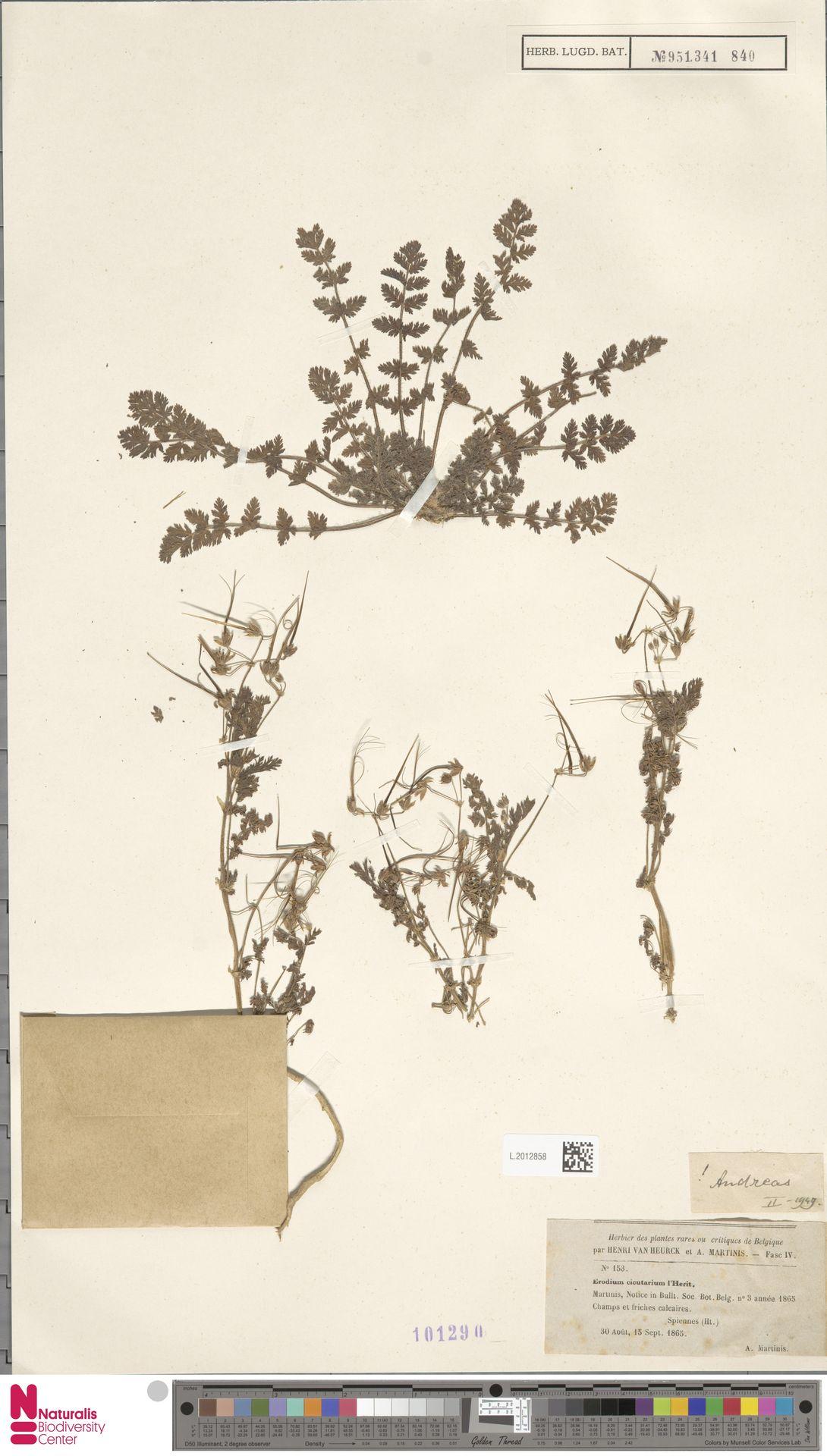 L.2012858 | Erodium cicutarium (L.) L'Hér.