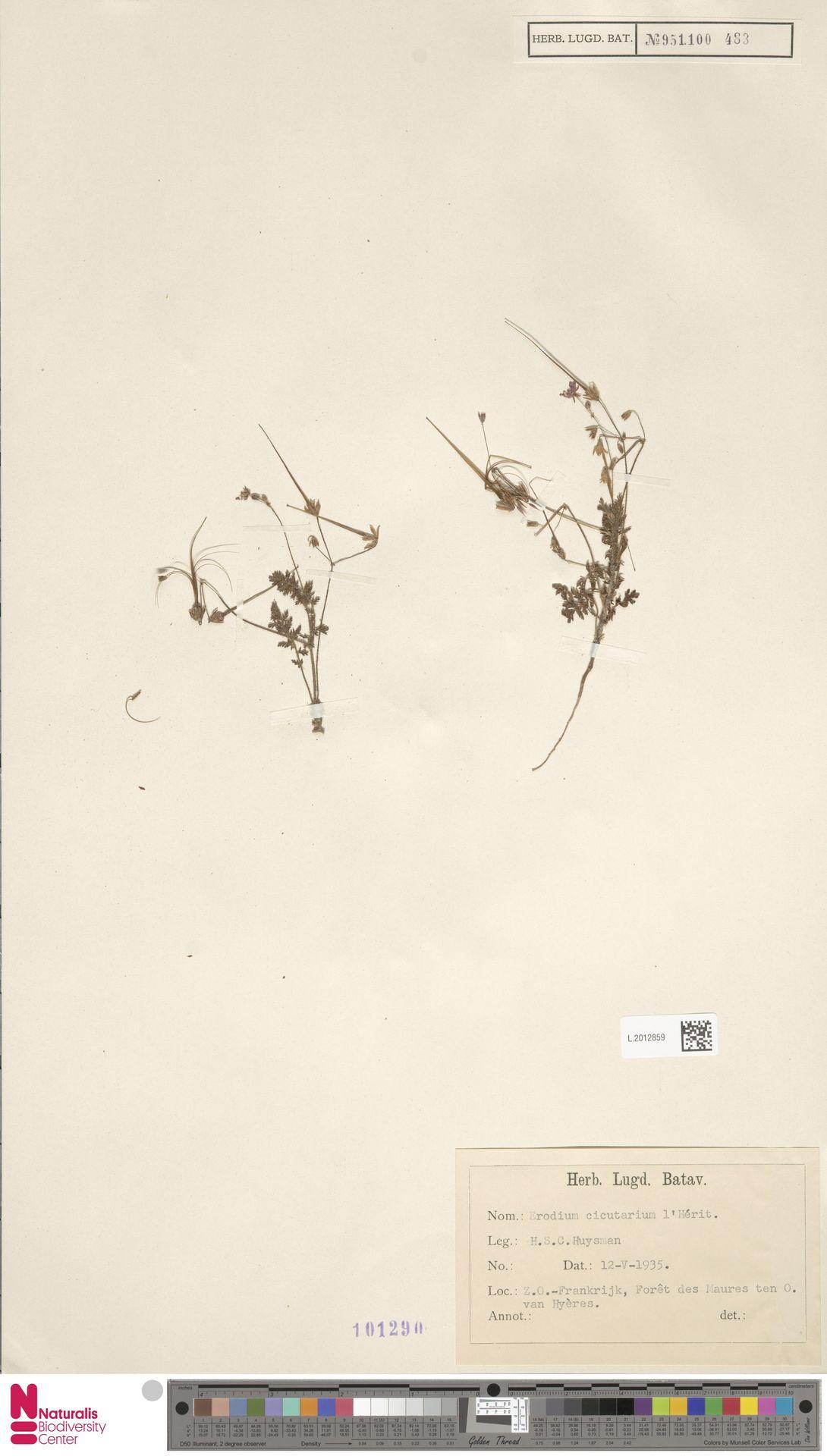 L.2012859 | Erodium cicutarium (L.) L'Hér.