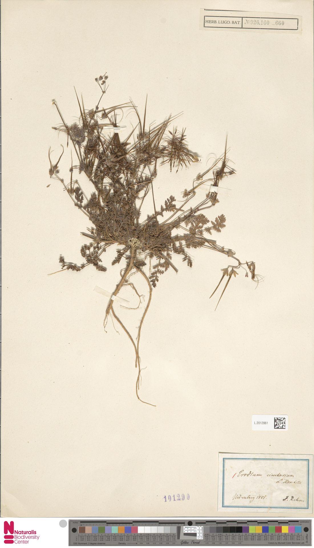 L.2012861 | Erodium cicutarium (L.) L'Hér.