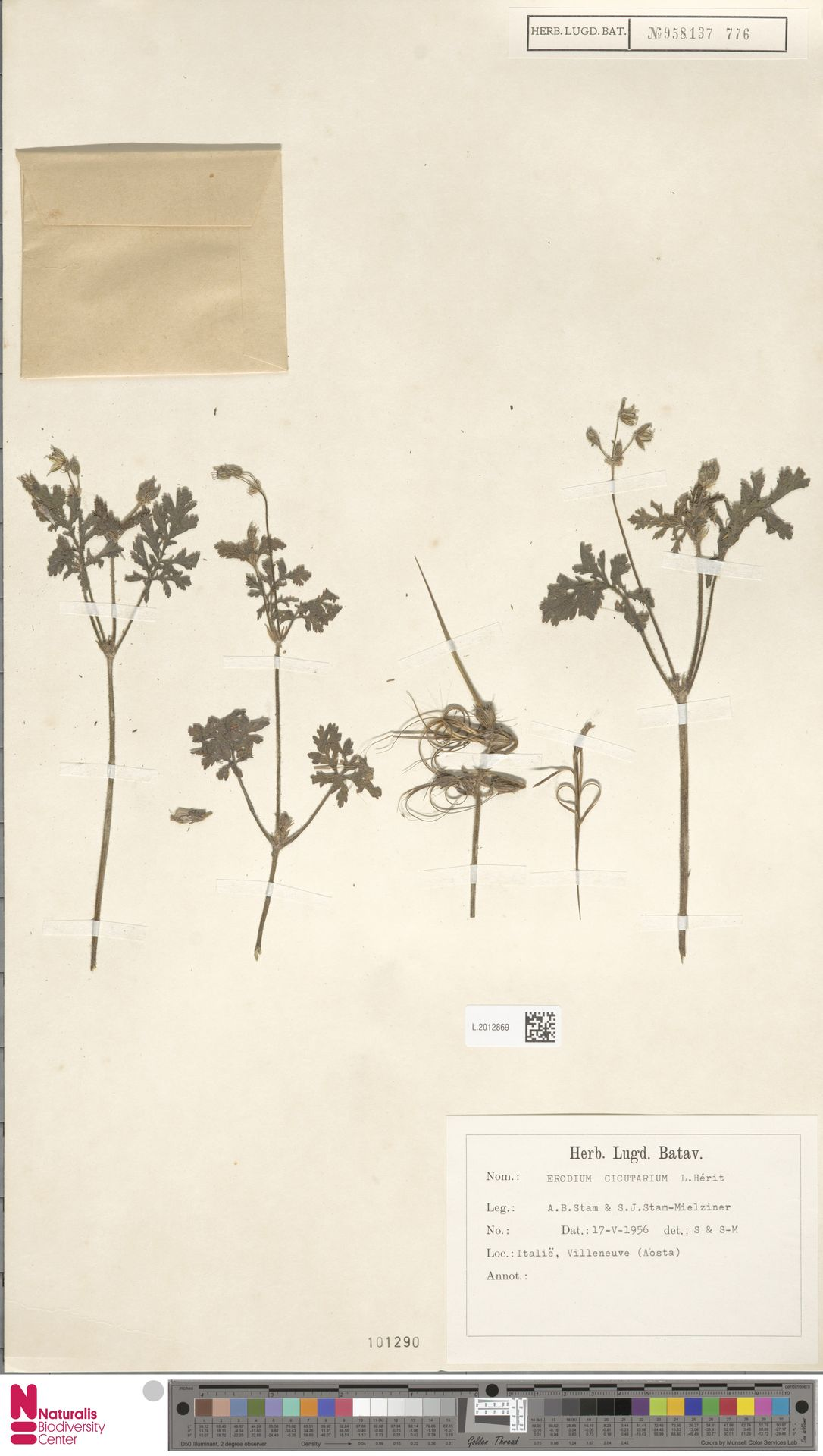 L.2012869 | Erodium cicutarium (L.) L'Hér.
