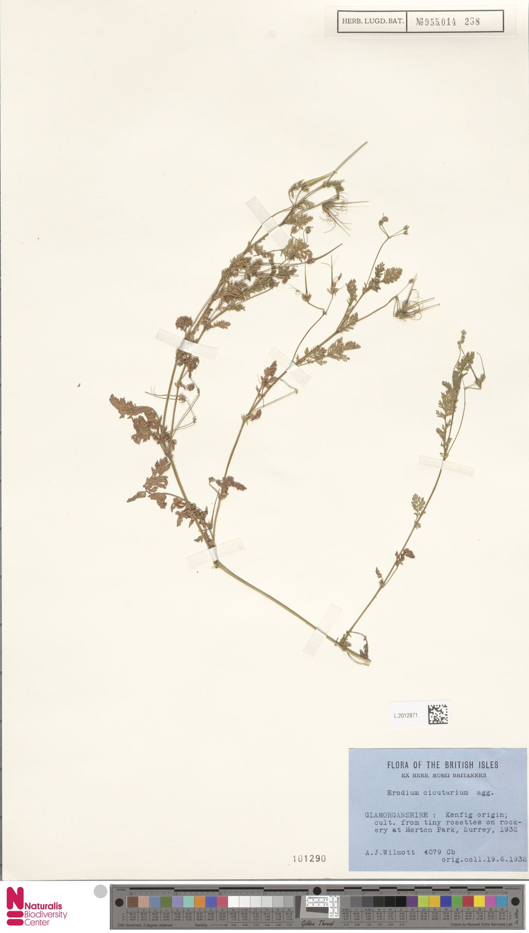 L.2012871 | Erodium cicutarium (L.) L'Hér.
