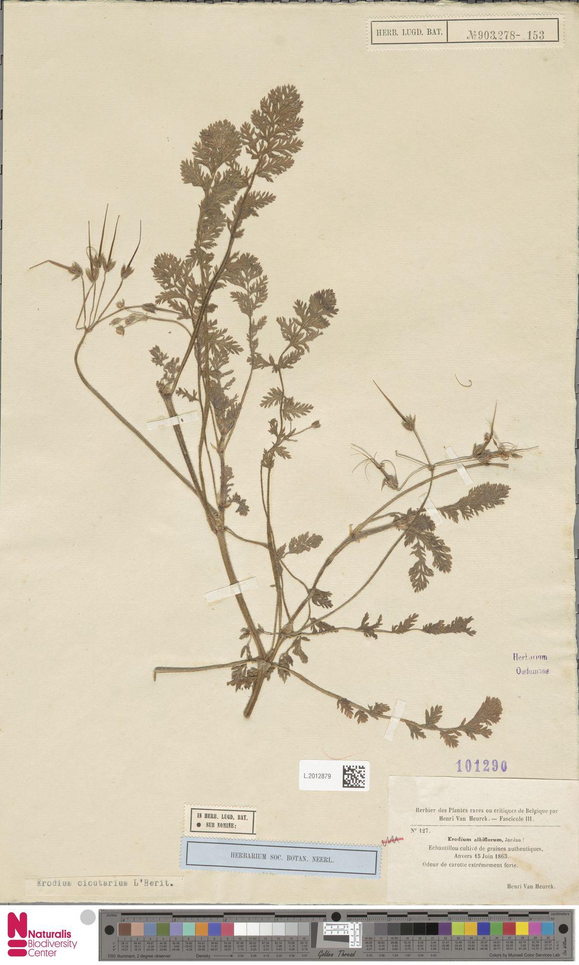L.2012879 | Erodium cicutarium (L.) L'Hér.
