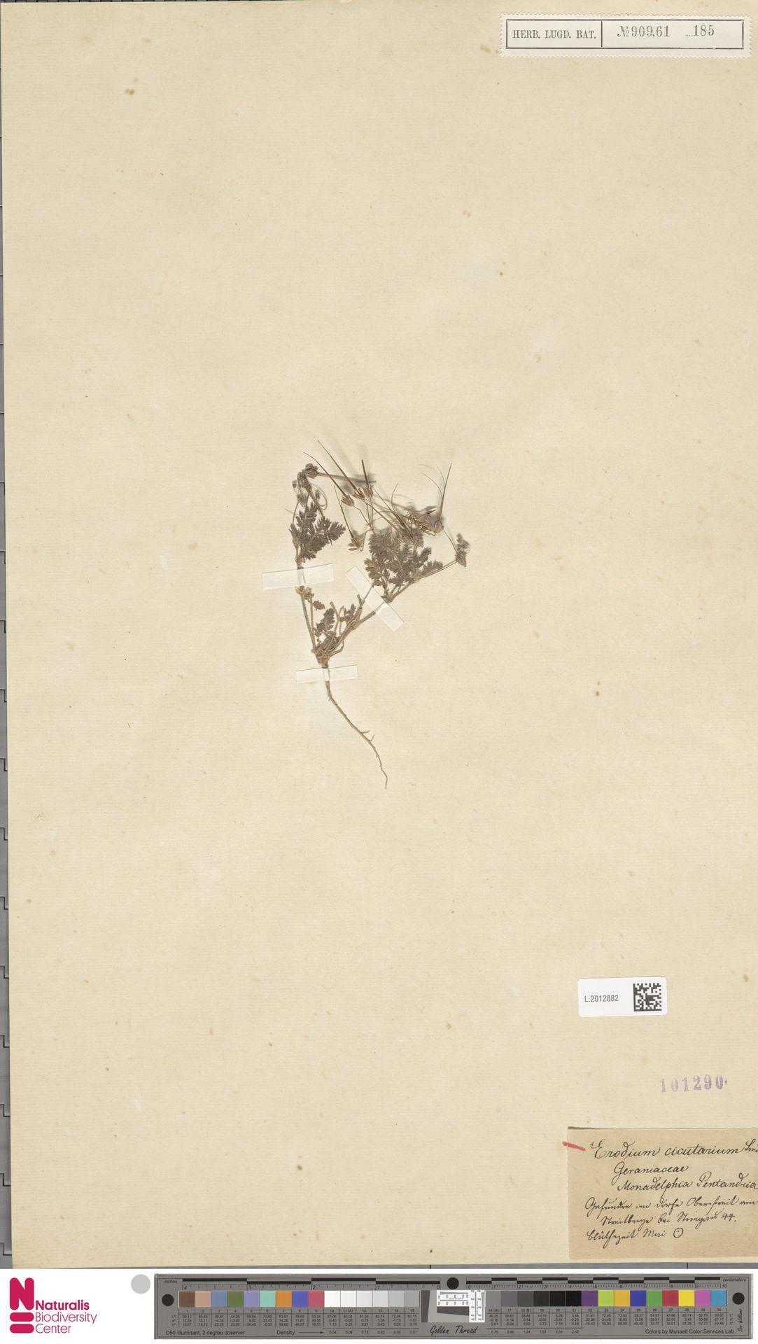 L.2012882 | Erodium cicutarium (L.) L'Hér.