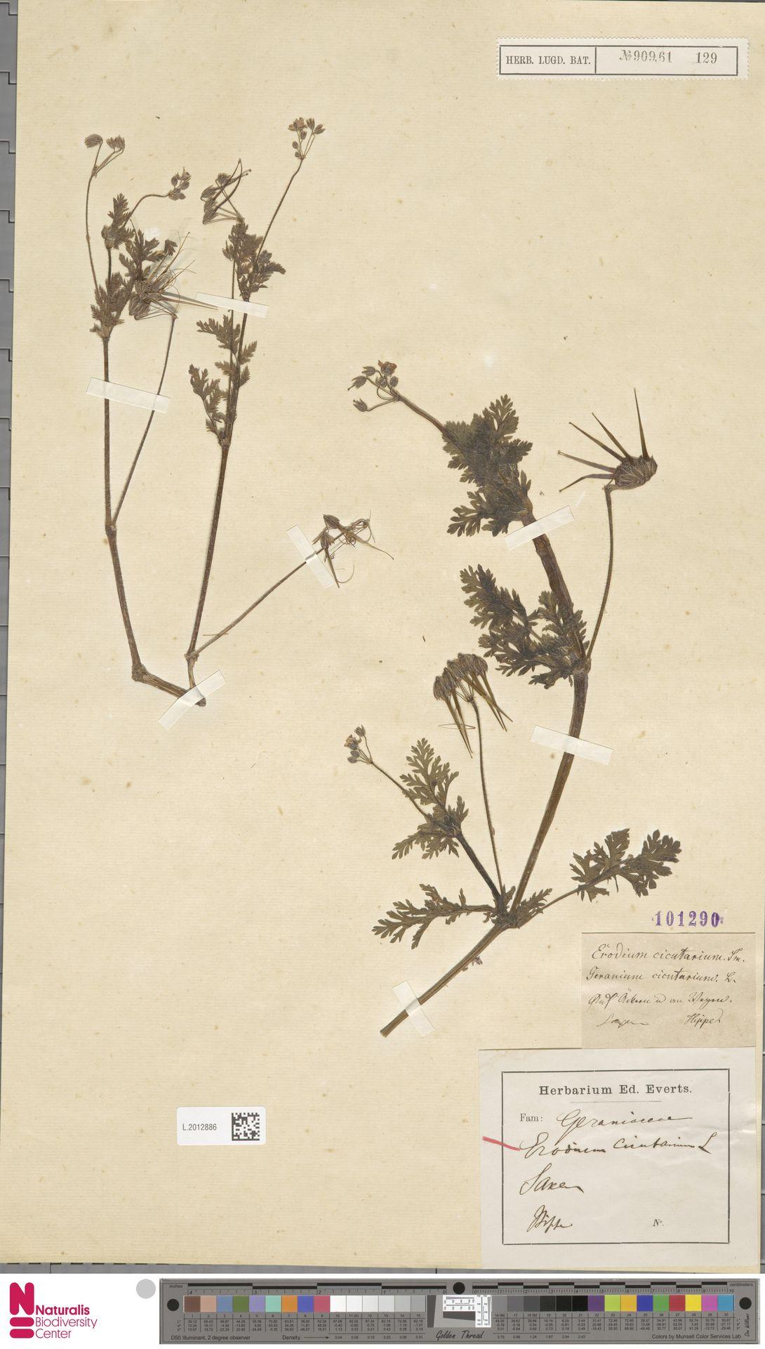 L.2012886 | Erodium cicutarium (L.) L'Hér.