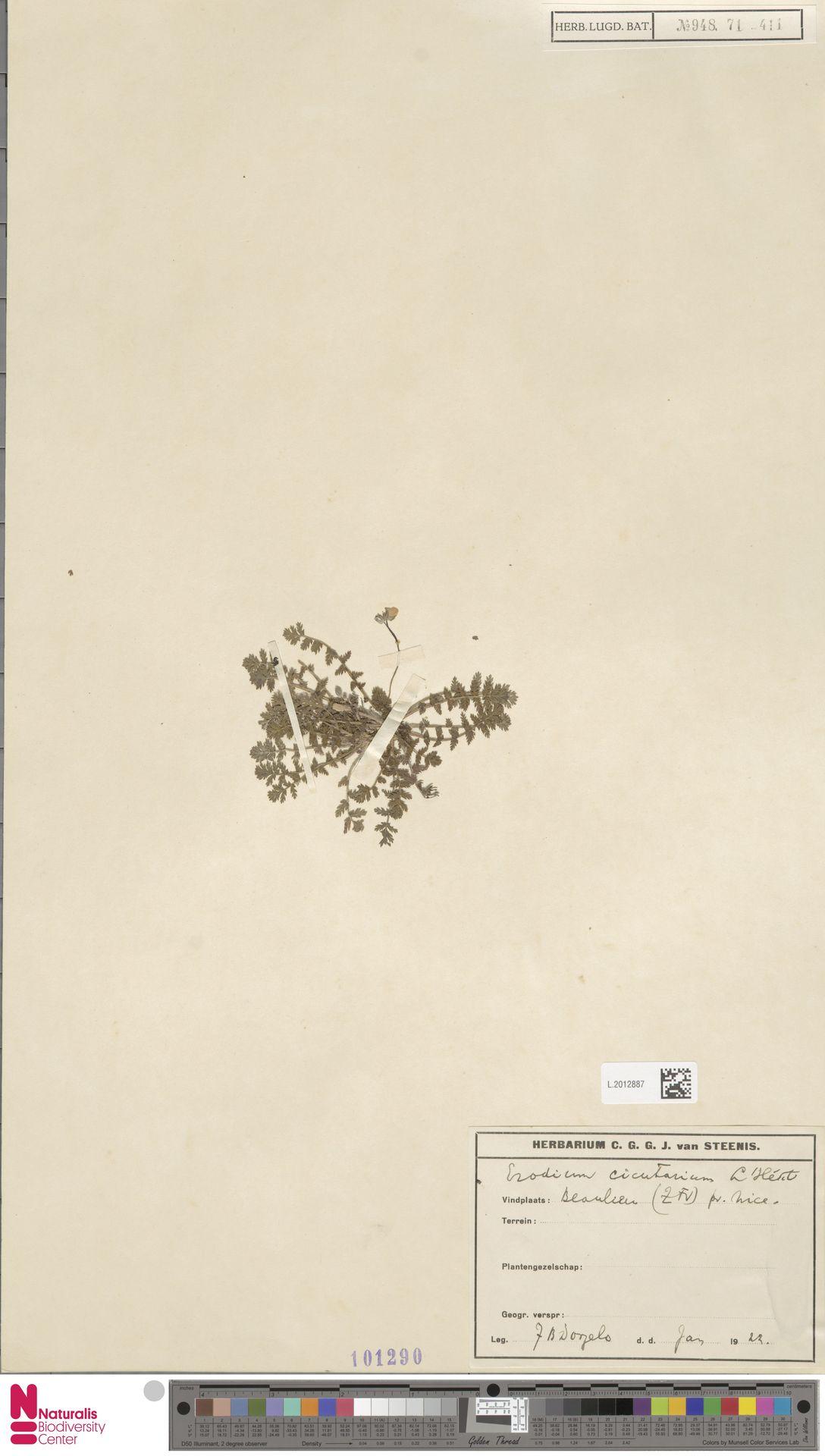 L.2012887   Erodium cicutarium (L.) L'Hér.