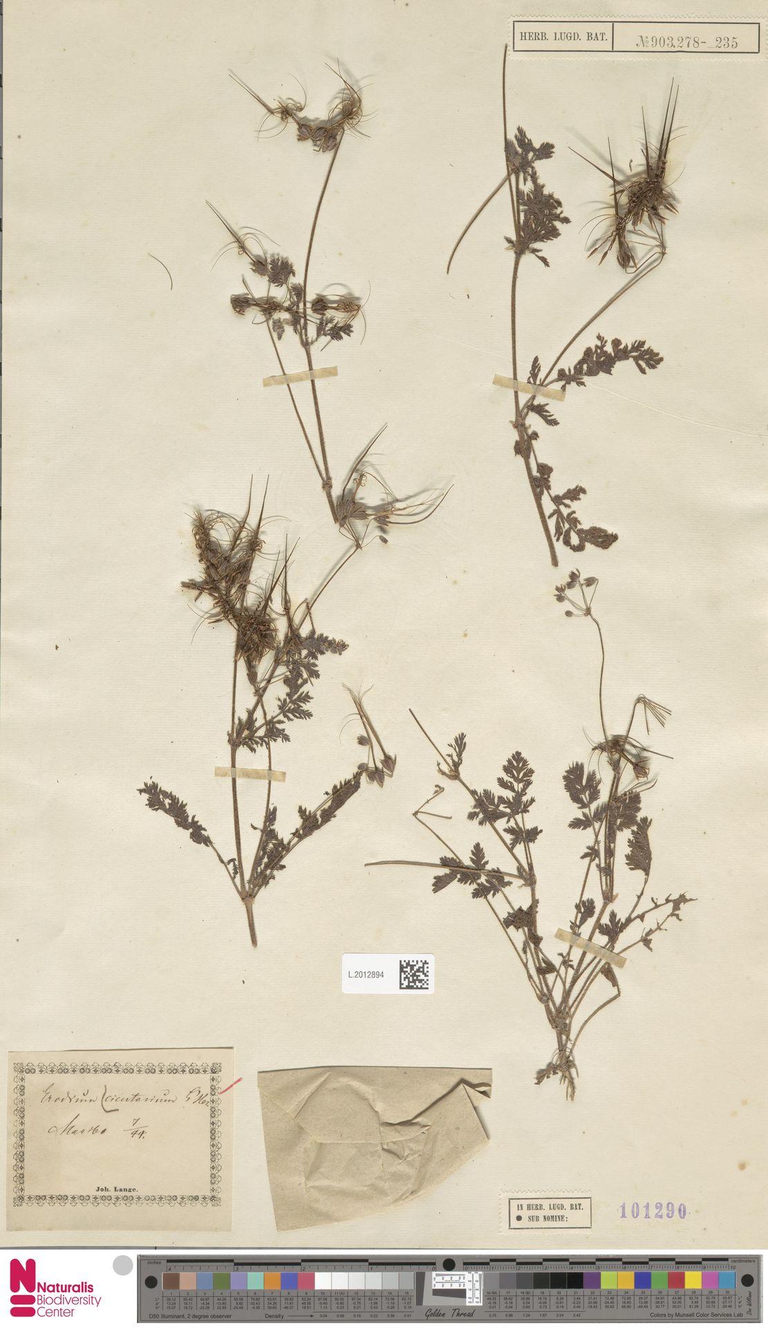 L.2012894 | Erodium cicutarium (L.) L'Hér.