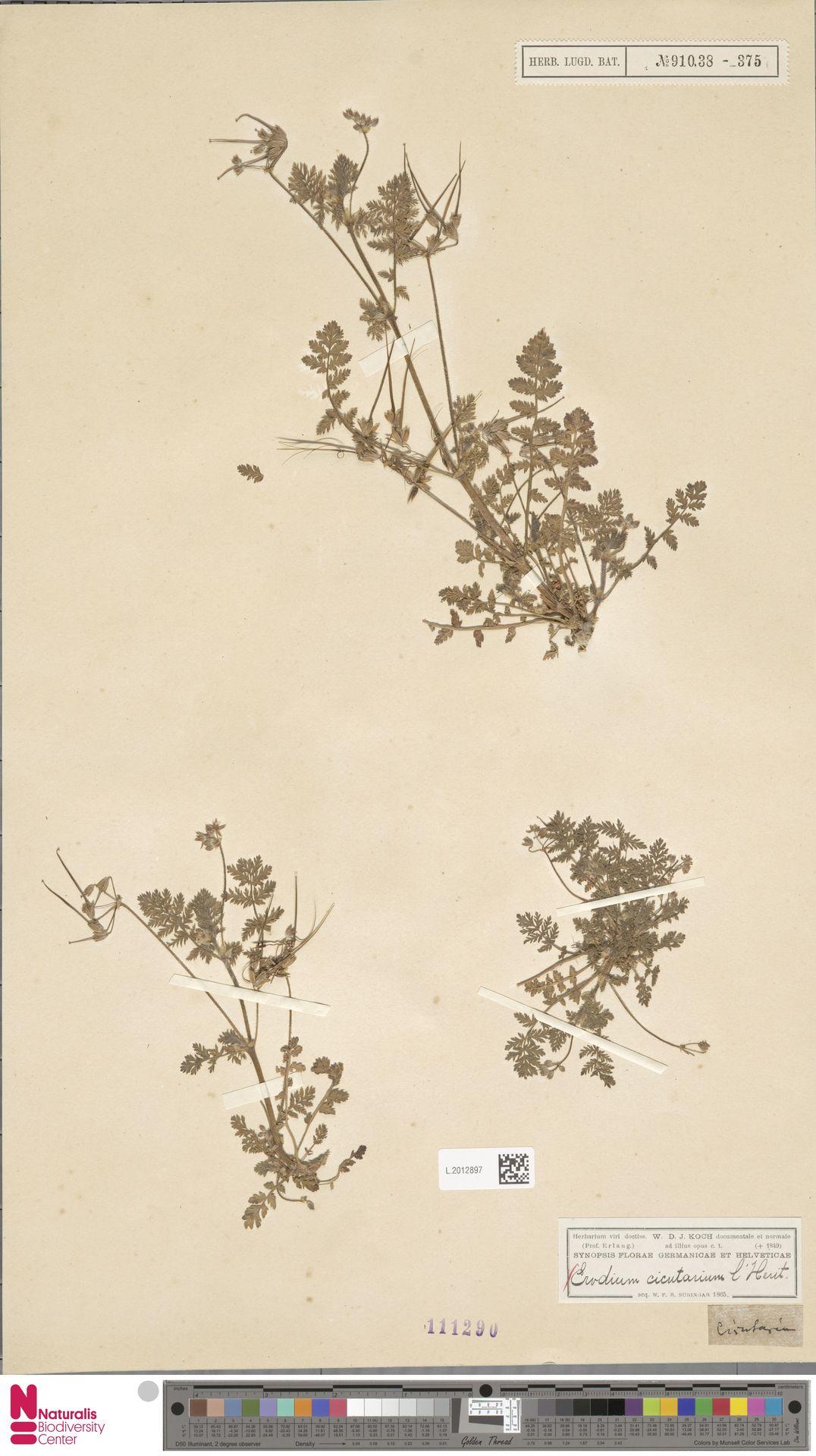 L.2012897 | Erodium cicutarium (L.) L'Hér.