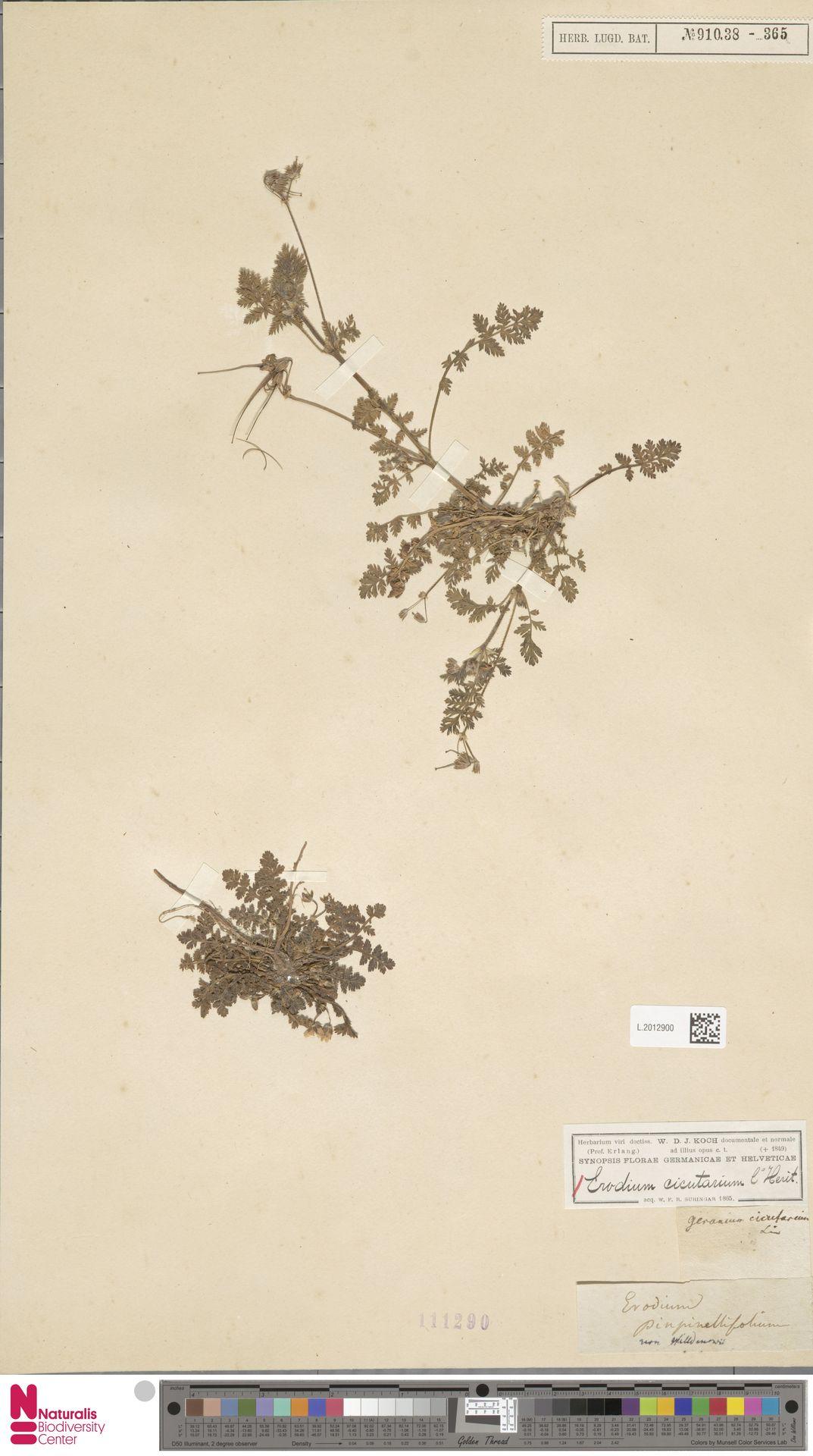 L.2012900 | Erodium cicutarium (L.) L'Hér.