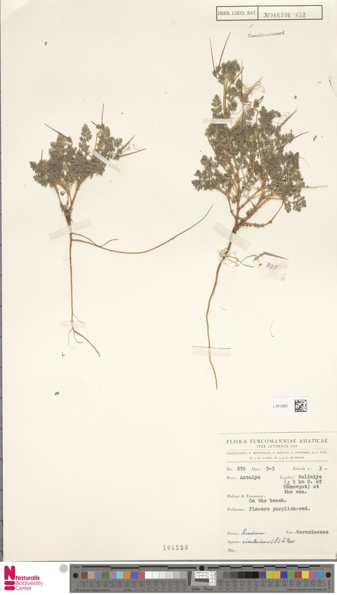L.2012901   Erodium cicutarium (L.) L'Hér.