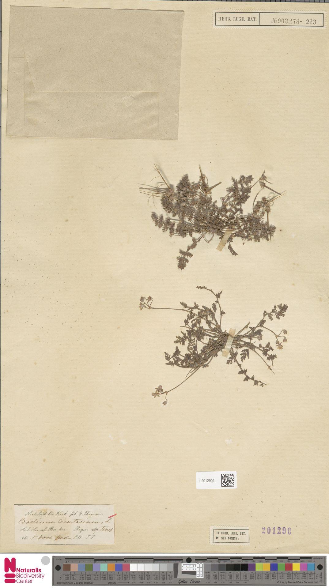 L.2012902 | Erodium cicutarium (L.) L'Hér.