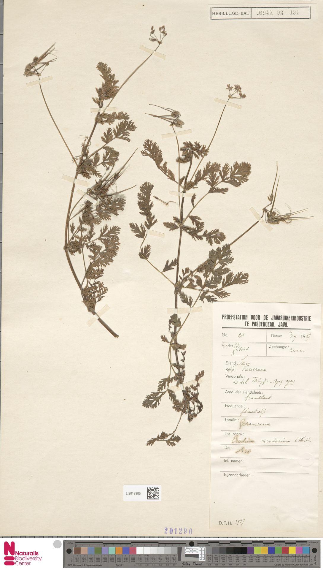 L.2012906 | Erodium cicutarium (L.) L'Hér.