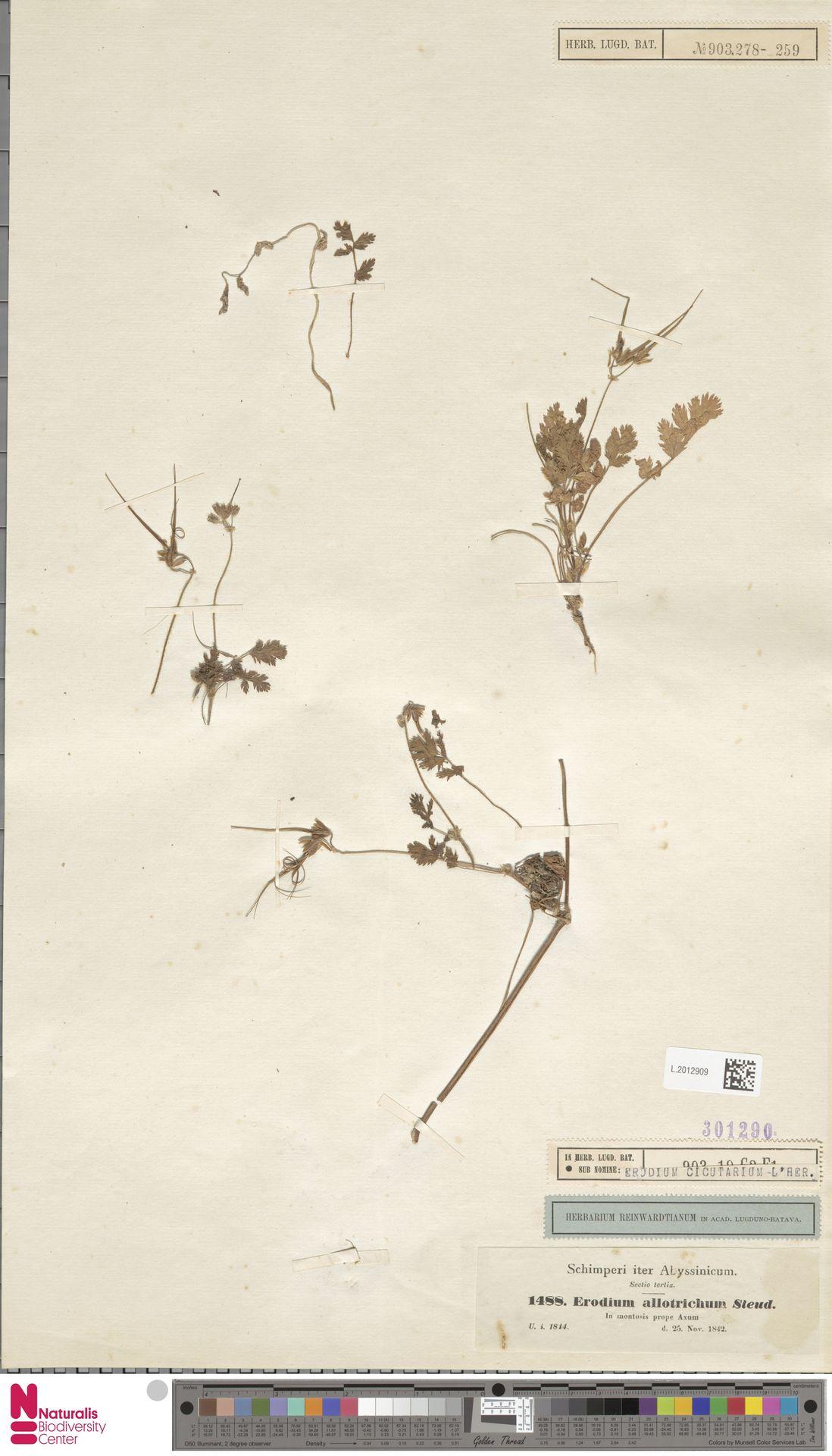 L.2012909   Erodium cicutarium (L.) L'Hér.