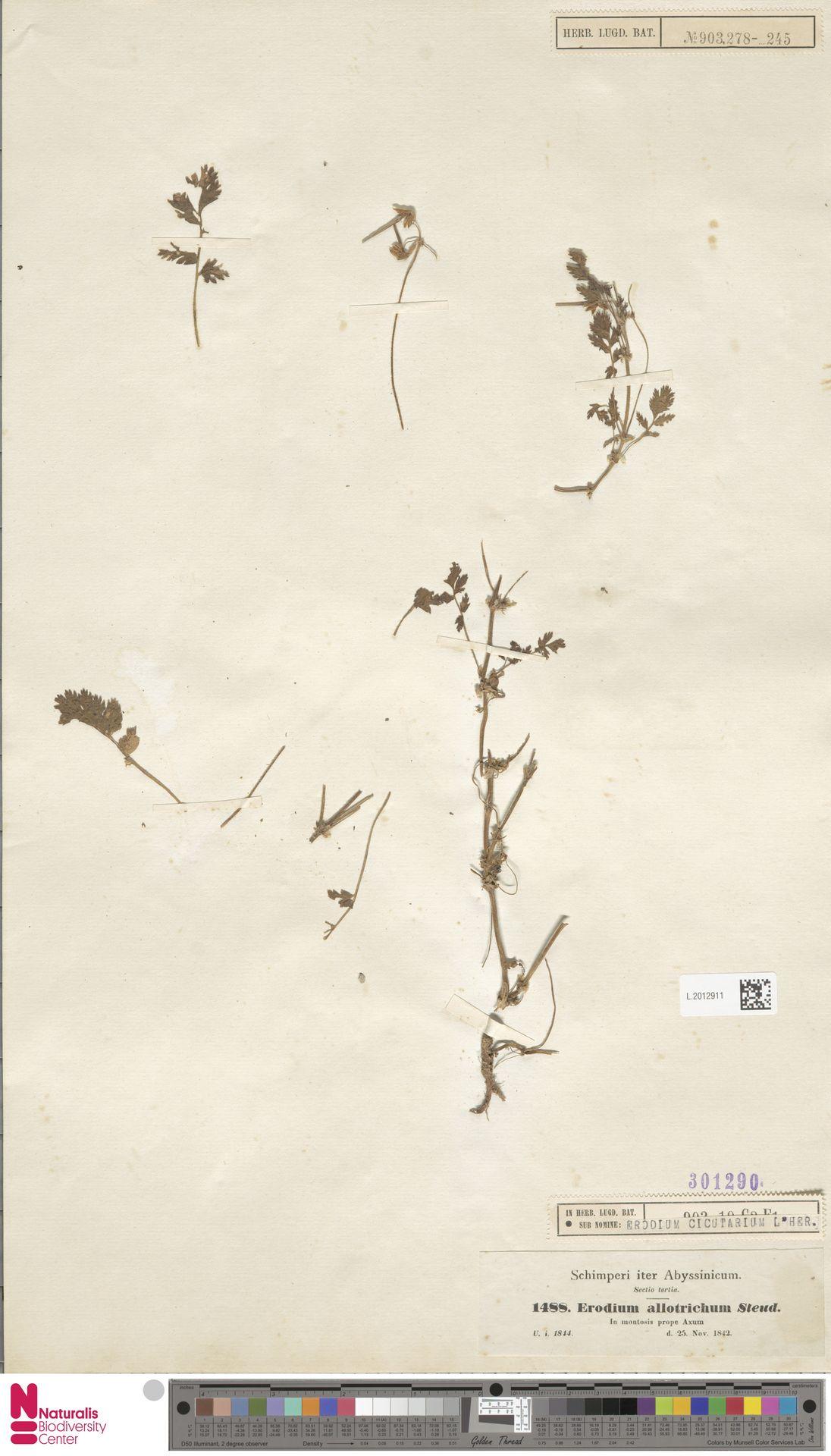 L.2012911 | Erodium cicutarium (L.) L'Hér.