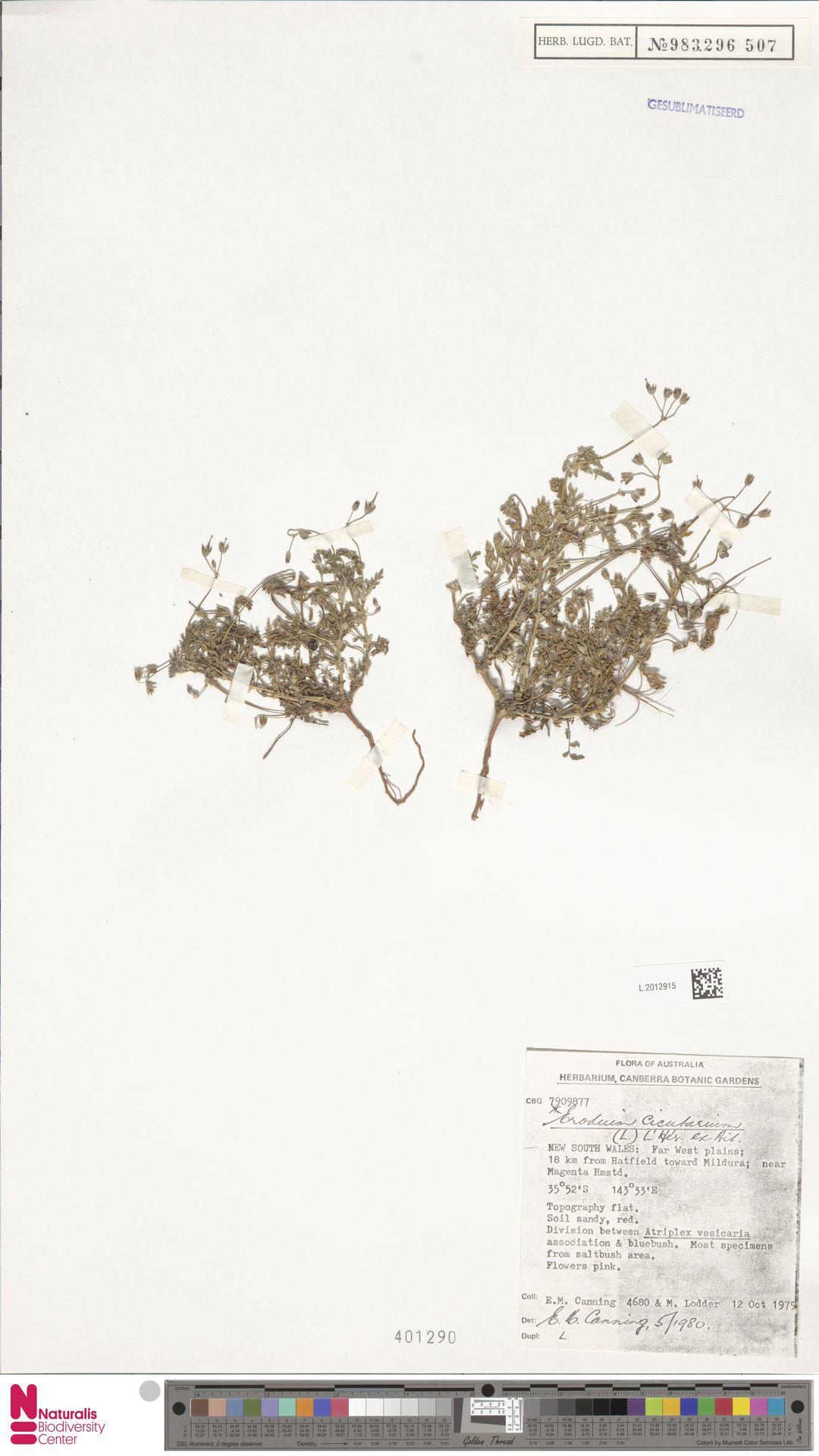 L.2012915 | Erodium cicutarium (L.) L'Hér.