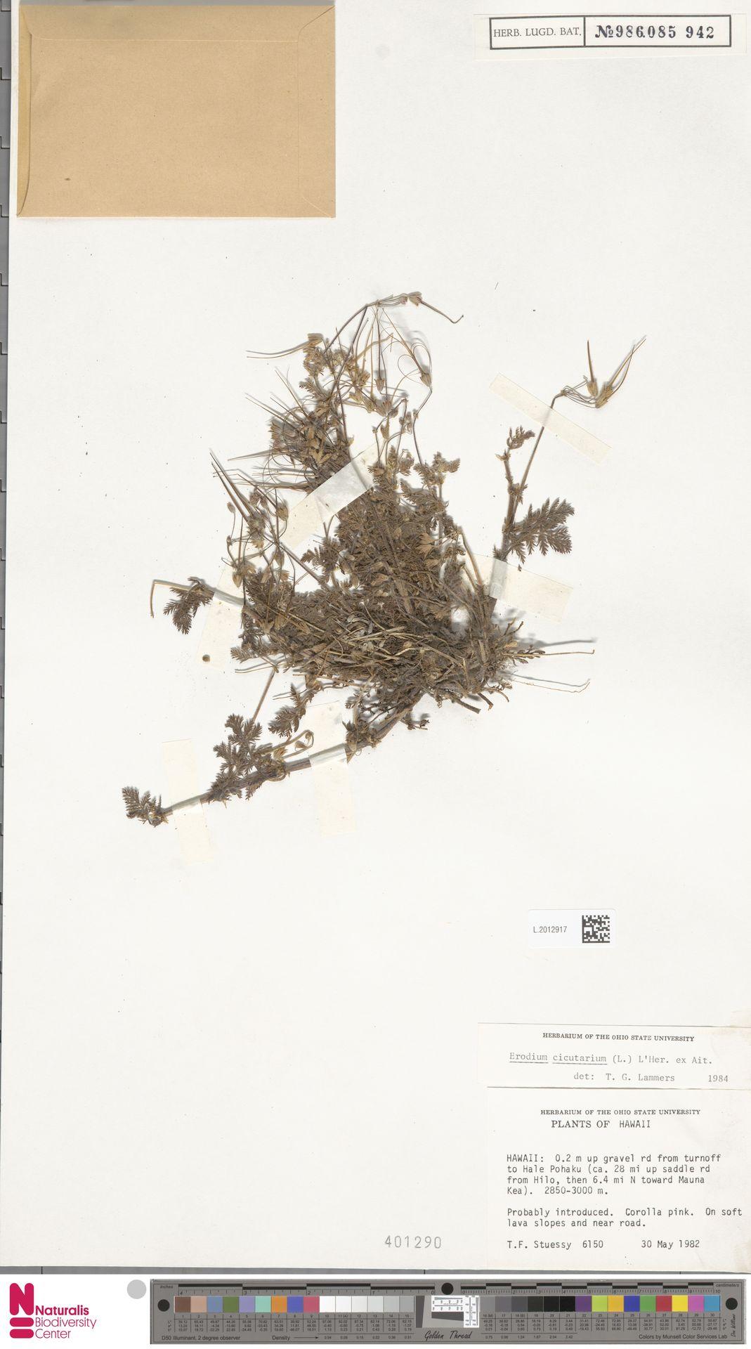L.2012917 | Erodium cicutarium (L.) L'Hér.