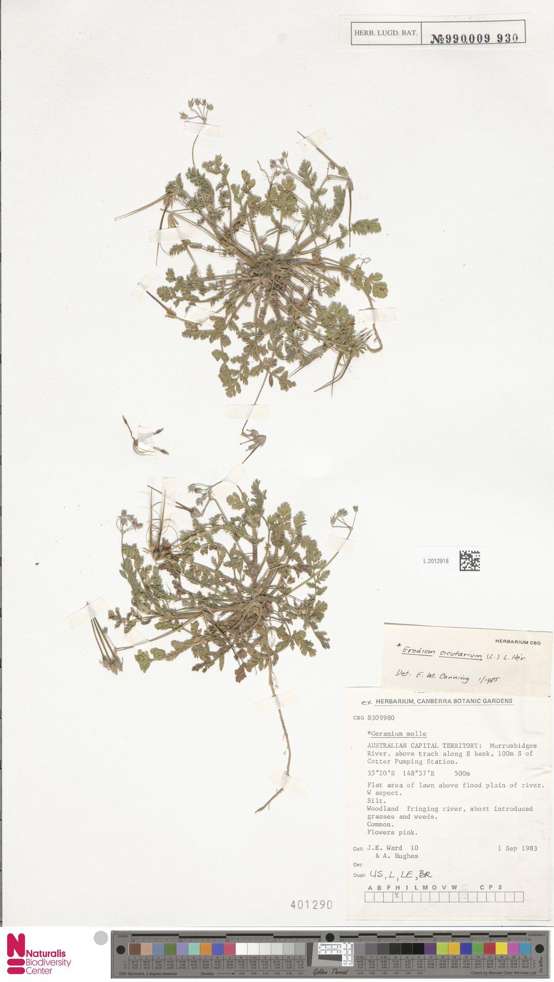 L.2012918 | Erodium cicutarium (L.) L'Hér.