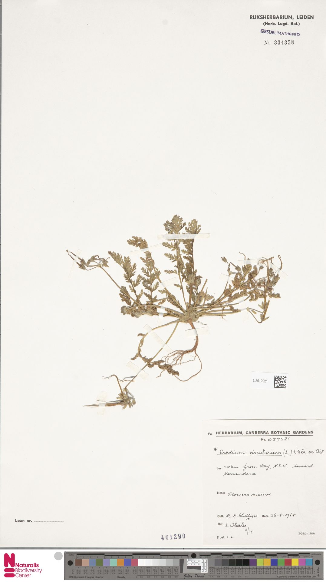 L.2012921 | Erodium cicutarium (L.) L'Hér.