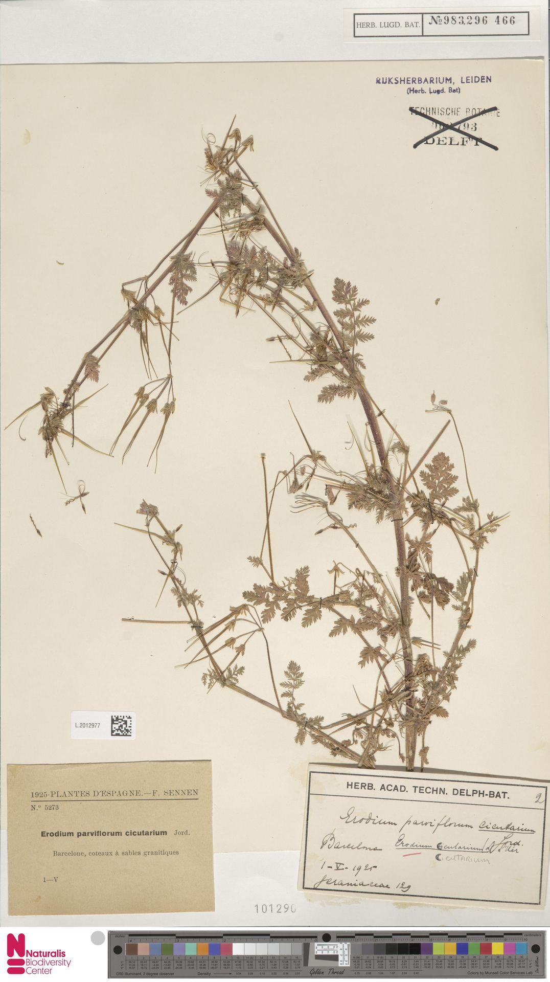 L.2012977 | Erodium cicutarium (L.) L'Hér.